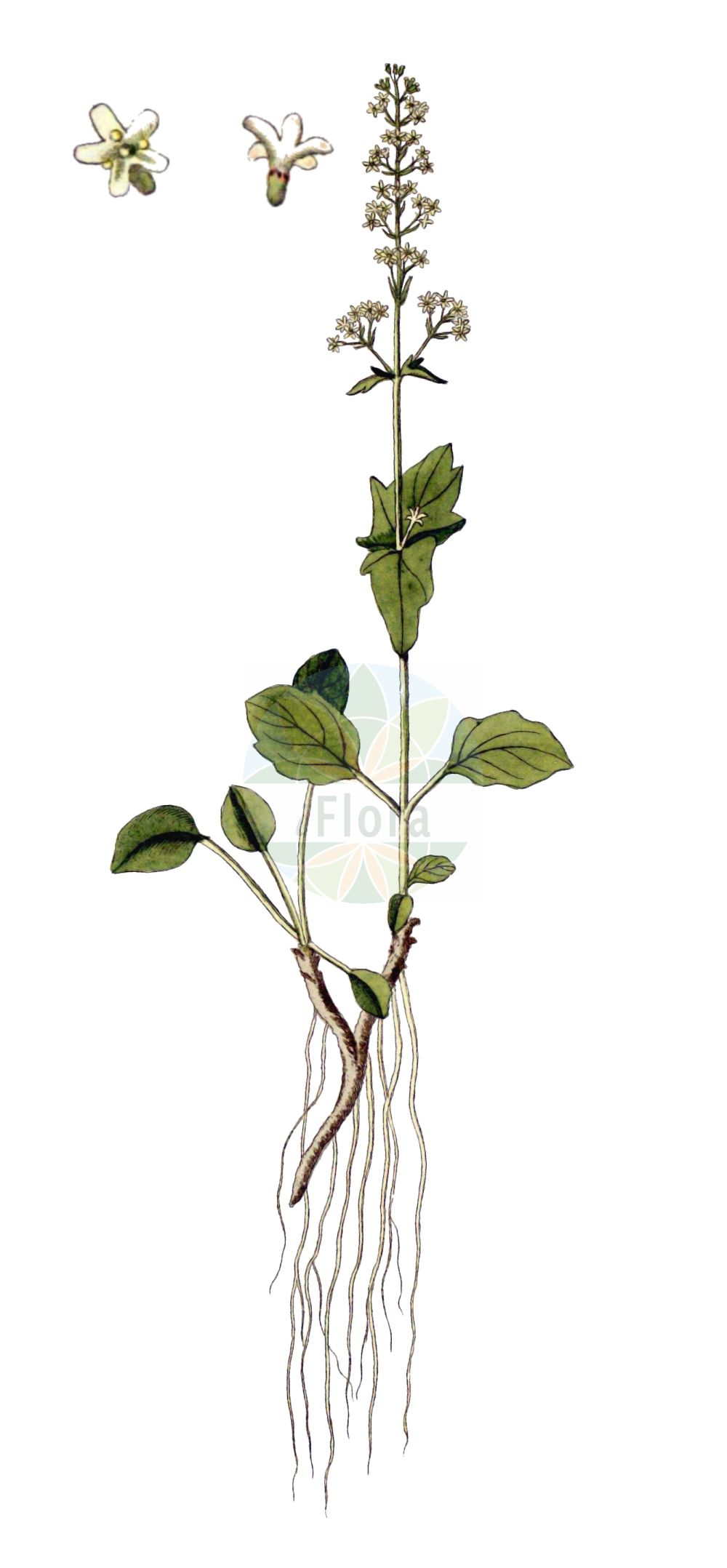 Historische Abbildung von Valeriana elongata. Das Bild zeigt Blatt, Bluete, Frucht und Same. ---- Historical Drawing of Valeriana elongata.The image is showing leaf, flower, fruit and seed.(Valeriana elongata,Valeriana elongata,Valeriana,Baldrian,Valerian,Caprifoliaceae,Geissblattgewaechse,Honeysuckle family,Blatt,Bluete,Frucht,Same,leaf,flower,fruit,seed,von Jacquin (1727-1817))