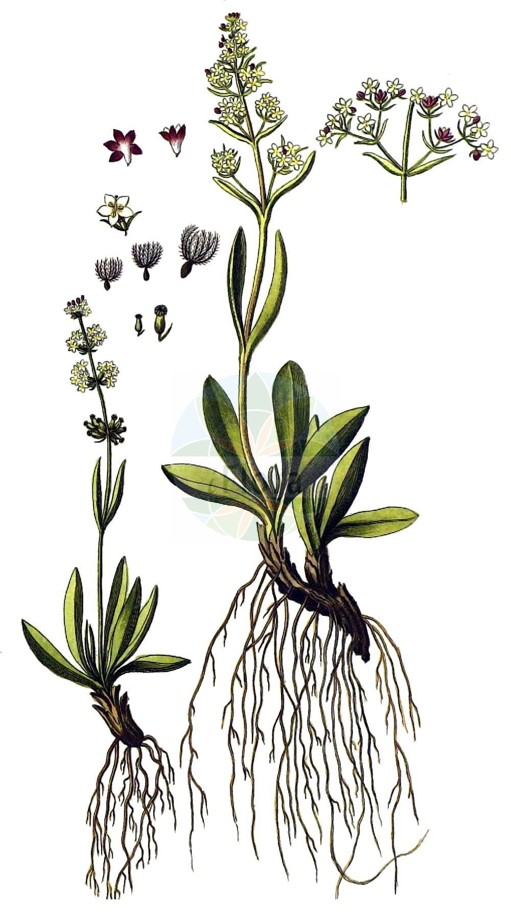 Historische Abbildung von Valeriana celtica. Das Bild zeigt Blatt, Bluete, Frucht und Same. ---- Historical Drawing of Valeriana celtica.The image is showing leaf, flower, fruit and seed.(Valeriana celtica,Valeriana celtica,Valeriana,Baldrian,Valerian,Caprifoliaceae,Geissblattgewaechse,Honeysuckle family,Blatt,Bluete,Frucht,Same,leaf,flower,fruit,seed,von Jacquin (1727-1817))