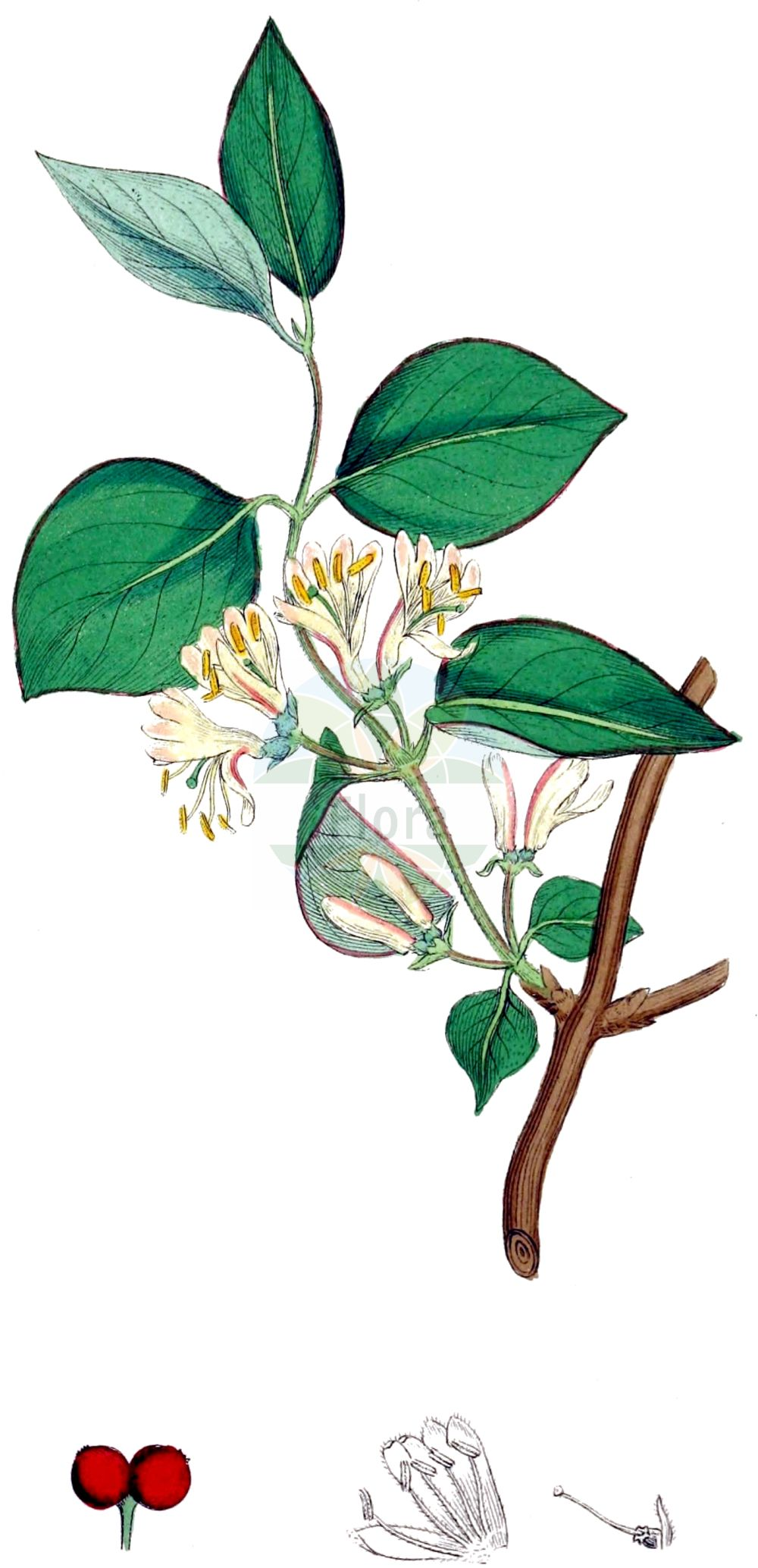 Historische Abbildung von Lonicera xylosteum (Rote Heckenkirsche - Fly Honeysuckle). Das Bild zeigt Blatt, Bluete, Frucht und Same. ---- Historical Drawing of Lonicera xylosteum (Rote Heckenkirsche - Fly Honeysuckle).The image is showing leaf, flower, fruit and seed.(Lonicera xylosteum,Rote Heckenkirsche,Fly Honeysuckle,Lonicera leiophylla,Lonicera luteiflora,Lonicera ochroleuca,Lonicera xylosteum,Rote Heckenkirsche,Beinholz,Rotes Geissblatt,Fly Honeysuckle,Dwarf Honeysuckle,Lonicera,Heckenkirsche,Honeysuckle,Caprifoliaceae,Geissblattgewaechse,Honeysuckle family,Blatt,Bluete,Frucht,Same,leaf,flower,fruit,seed,Sowerby (1790-1813))