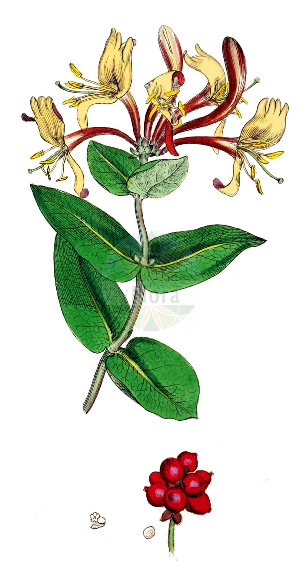 Historische Abbildung von Lonicera periclymenum (Wald-Heckenkirsche - Honeysuckle). Das Bild zeigt Blatt, Bluete, Frucht und Same. ---- Historical Drawing of Lonicera periclymenum (Wald-Heckenkirsche - Honeysuckle).The image is showing leaf, flower, fruit and seed.(Lonicera periclymenum,Wald-Heckenkirsche,Honeysuckle,Lonicera periclymenum,Lonicera serotina,Wald-Heckenkirsche,Deutsche Heckenkirsche,Wald-Geissblatt,Honeysuckle,Common Honeysuckle,European Honeysuckle,Duck Honeysuckle,Woodbine,Lonicera,Heckenkirsche,Honeysuckle,Caprifoliaceae,Geissblattgewaechse,Honeysuckle family,Blatt,Bluete,Frucht,Same,leaf,flower,fruit,seed,Sowerby (1790-1813))