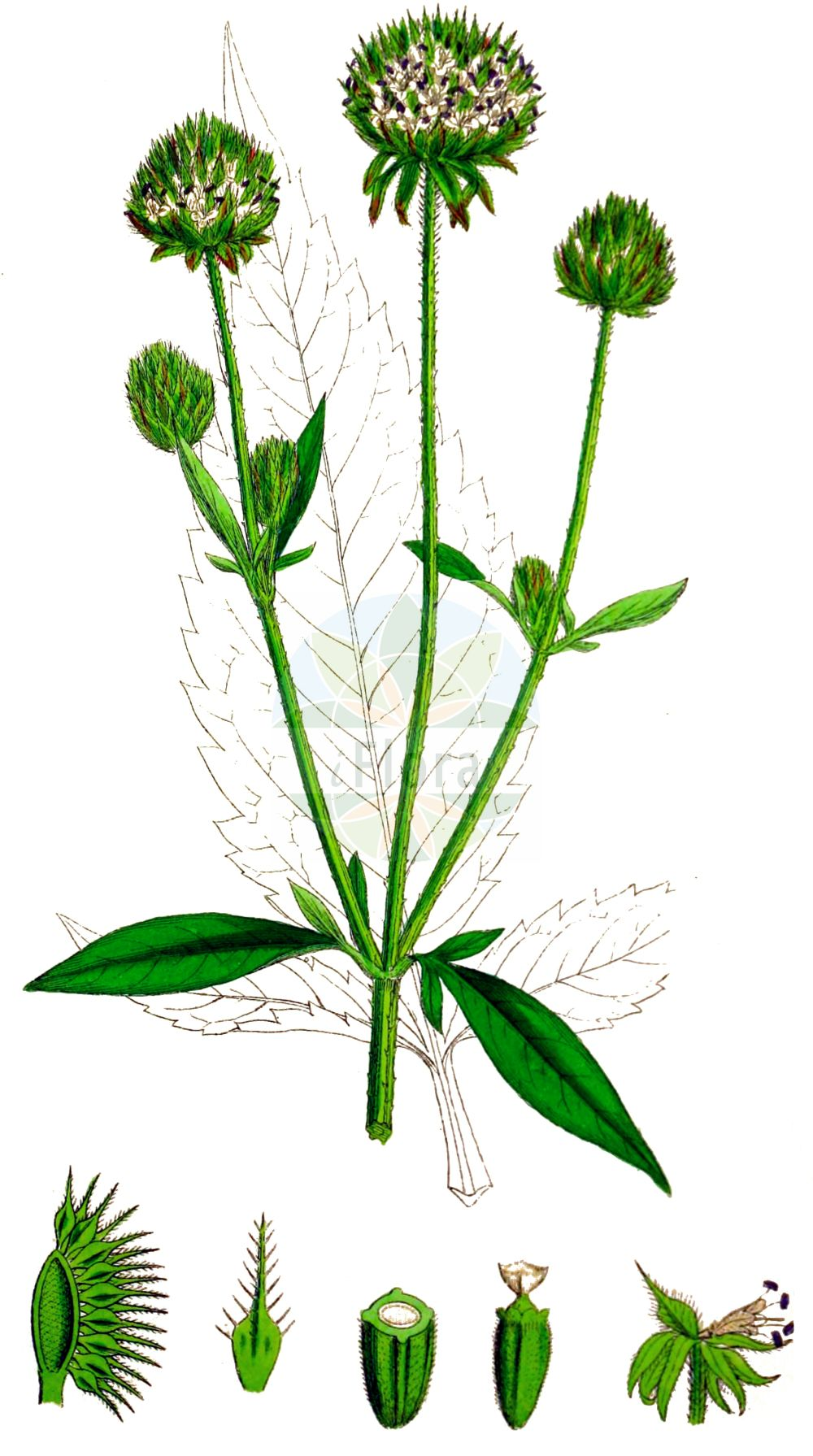 Historische Abbildung von Dipsacus pilosus (Behaarte Karde - Small Teasel). Das Bild zeigt Blatt, Bluete, Frucht und Same. ---- Historical Drawing of Dipsacus pilosus (Behaarte Karde - Small Teasel).The image is showing leaf, flower, fruit and seed.(Dipsacus pilosus,Behaarte Karde,Small Teasel,Cephalaria pilosa,Dipsacus pilosus,Virga pilosa,Behaarte Karde,Small Teasel,Dipsacus,Karde,Teasel,Caprifoliaceae,Geissblattgewaechse,Honeysuckle family,Blatt,Bluete,Frucht,Same,leaf,flower,fruit,seed,Sowerby (1790-1813))