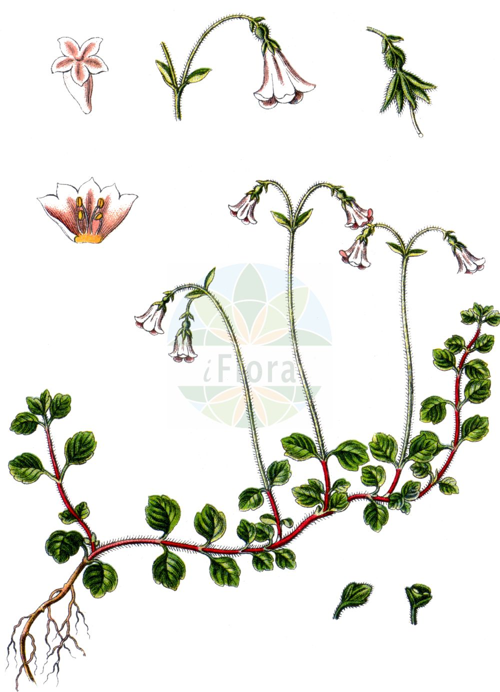 Historische Abbildung von Linnaea borealis (Moosgloeckchen - Twinflower). Das Bild zeigt Blatt, Bluete, Frucht und Same. ---- Historical Drawing of Linnaea borealis (Moosgloeckchen - Twinflower).The image is showing leaf, flower, fruit and seed.(Linnaea borealis,Moosgloeckchen,Twinflower,Linnaea borealis,Moosgloeckchen,Erdgloeckchen,Twinflower,Linnaea,Moosgloeckchen,Twinflower,Caprifoliaceae,Geissblattgewaechse,Honeysuckle family,Blatt,Bluete,Frucht,Same,leaf,flower,fruit,seed,Sturm (1796f))