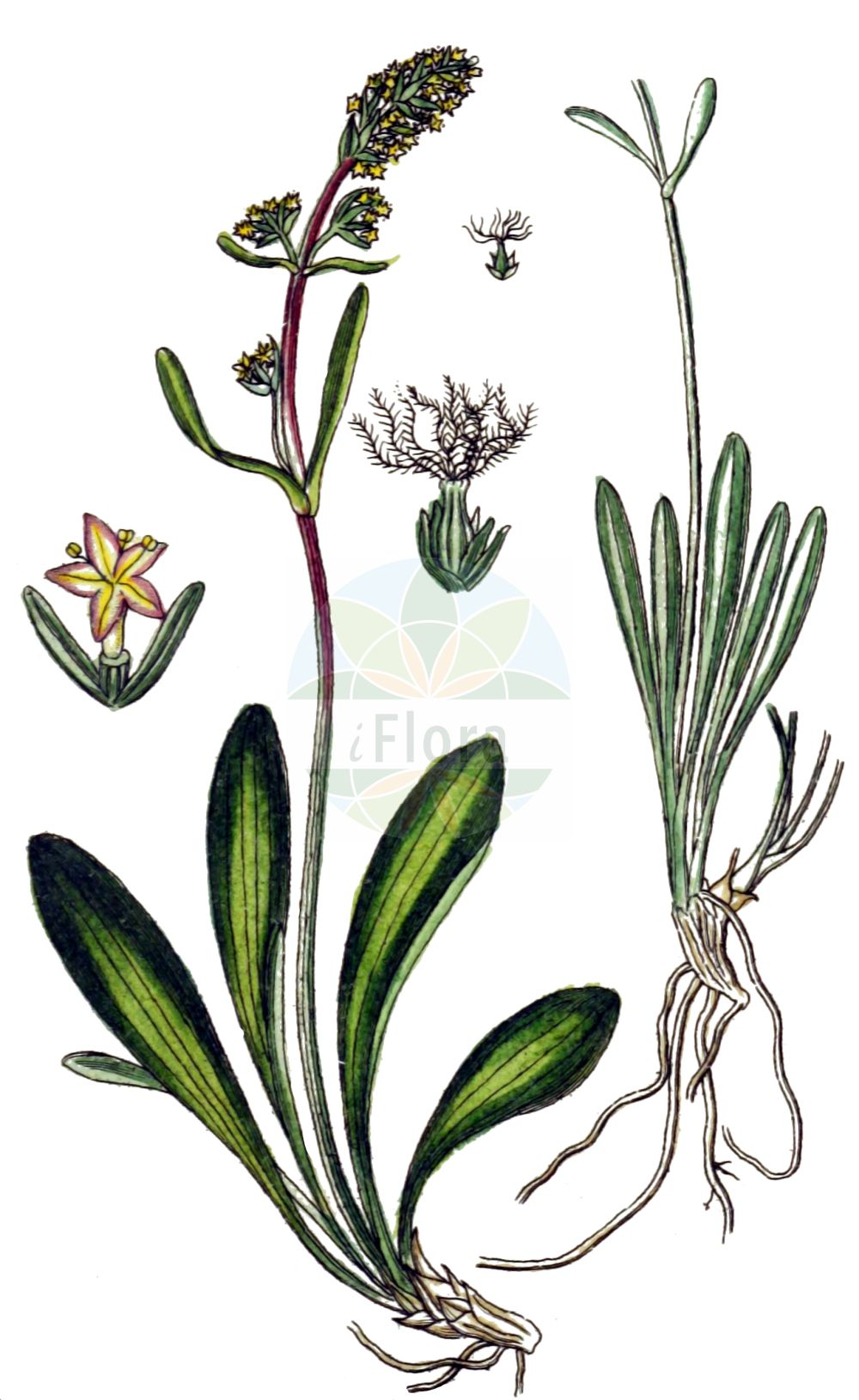 Historische Abbildung von Valeriana celtica. Das Bild zeigt Blatt, Bluete, Frucht und Same. ---- Historical Drawing of Valeriana celtica.The image is showing leaf, flower, fruit and seed.(Valeriana celtica,Valeriana celtica,Valeriana,Baldrian,Valerian,Caprifoliaceae,Geissblattgewaechse,Honeysuckle family,Blatt,Bluete,Frucht,Same,leaf,flower,fruit,seed,Sturm (1796f))