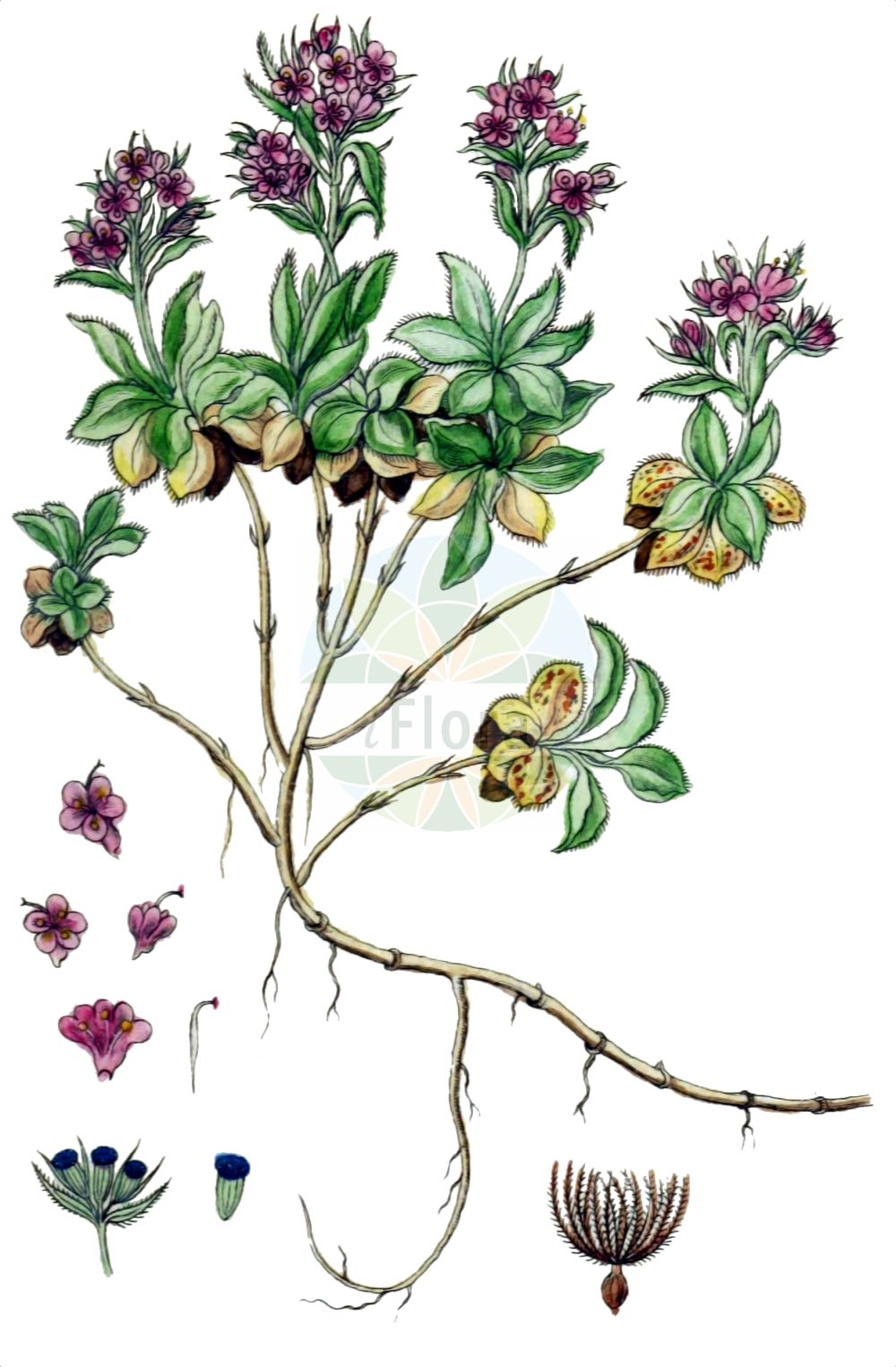 Historische Abbildung von Valeriana supina (Zwerg-Baldrian - Dwarf Valerian). Das Bild zeigt Blatt, Bluete, Frucht und Same. ---- Historical Drawing of Valeriana supina (Zwerg-Baldrian - Dwarf Valerian).The image is showing leaf, flower, fruit and seed.(Valeriana supina,Zwerg-Baldrian,Dwarf Valerian,Valeriana supina,Zwerg-Baldrian,Dwarf Valerian,Valeriana,Baldrian,Valerian,Caprifoliaceae,Geissblattgewaechse,Honeysuckle family,Blatt,Bluete,Frucht,Same,leaf,flower,fruit,seed,Sturm (1796f))