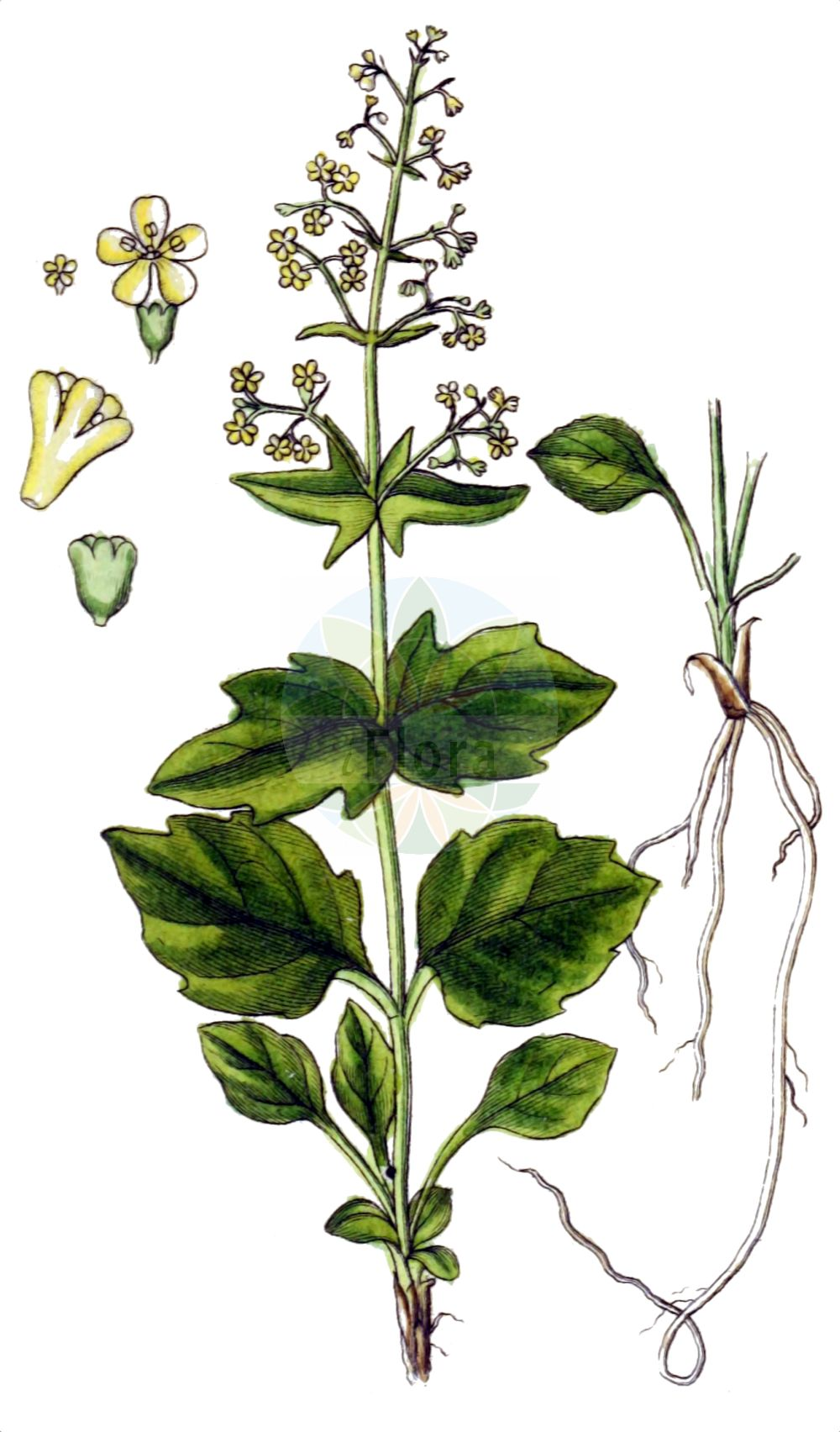 Historische Abbildung von Valeriana elongata. Das Bild zeigt Blatt, Bluete, Frucht und Same. ---- Historical Drawing of Valeriana elongata.The image is showing leaf, flower, fruit and seed.(Valeriana elongata,Valeriana elongata,Valeriana,Baldrian,Valerian,Caprifoliaceae,Geissblattgewaechse,Honeysuckle family,Blatt,Bluete,Frucht,Same,leaf,flower,fruit,seed,Sturm (1796f))