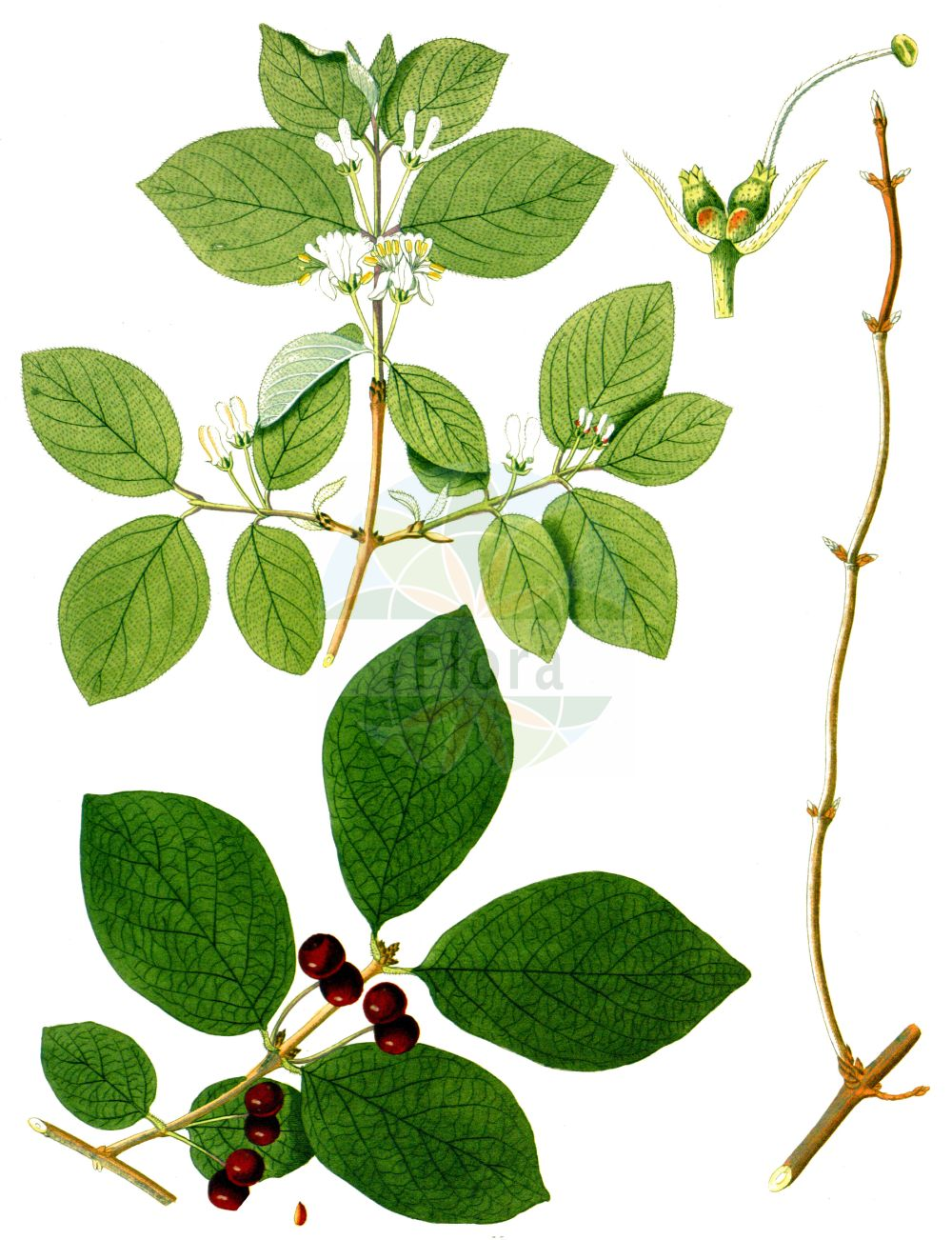 Historische Abbildung von Lonicera xylosteum (Rote Heckenkirsche - Fly Honeysuckle). Das Bild zeigt Blatt, Bluete, Frucht und Same. ---- Historical Drawing of Lonicera xylosteum (Rote Heckenkirsche - Fly Honeysuckle).The image is showing leaf, flower, fruit and seed.(Lonicera xylosteum,Rote Heckenkirsche,Fly Honeysuckle,Lonicera leiophylla,Lonicera luteiflora,Lonicera ochroleuca,Lonicera xylosteum,Rote Heckenkirsche,Beinholz,Rotes Geissblatt,Fly Honeysuckle,Dwarf Honeysuckle,Lonicera,Heckenkirsche,Honeysuckle,Caprifoliaceae,Geissblattgewaechse,Honeysuckle family,Blatt,Bluete,Frucht,Same,leaf,flower,fruit,seed,Krauss (1802f))