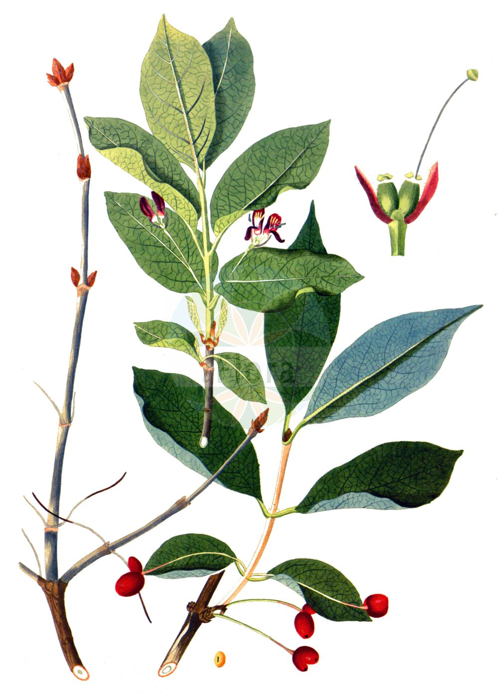 Historische Abbildung von Lonicera alpigena (Alpen-Heckenkirsche - Alpine Honeysuckle). Das Bild zeigt Blatt, Bluete, Frucht und Same. ---- Historical Drawing of Lonicera alpigena (Alpen-Heckenkirsche - Alpine Honeysuckle).The image is showing leaf, flower, fruit and seed.(Lonicera alpigena,Alpen-Heckenkirsche,Alpine Honeysuckle,Lonicera alpigena,Alpen-Heckenkirsche,Alpen-Geissblatt,Alpine Honeysuckle,Cherry Woodbine,Lonicera,Heckenkirsche,Honeysuckle,Caprifoliaceae,Geissblattgewaechse,Honeysuckle family,Blatt,Bluete,Frucht,Same,leaf,flower,fruit,seed,Krauss (1802f))