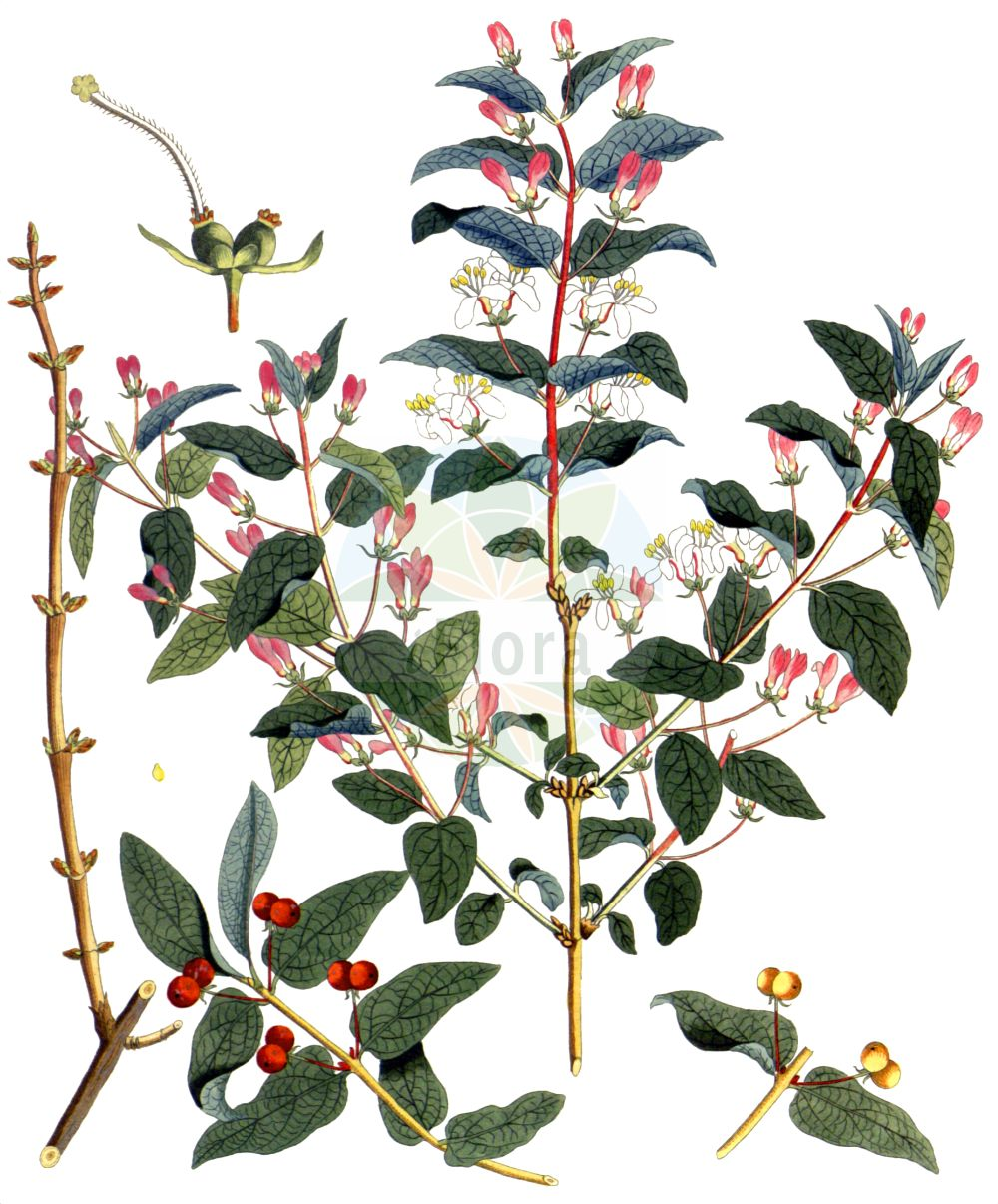 Historische Abbildung von Lonicera tatarica. Das Bild zeigt Blatt, Bluete, Frucht und Same. ---- Historical Drawing of Lonicera tatarica.The image is showing leaf, flower, fruit and seed.(Lonicera tatarica,Lonicera benjaminii,Lonicera tatarica,Lonicera,Heckenkirsche,Honeysuckle,Caprifoliaceae,Geissblattgewaechse,Honeysuckle family,Blatt,Bluete,Frucht,Same,leaf,flower,fruit,seed,Krauss (1802f))