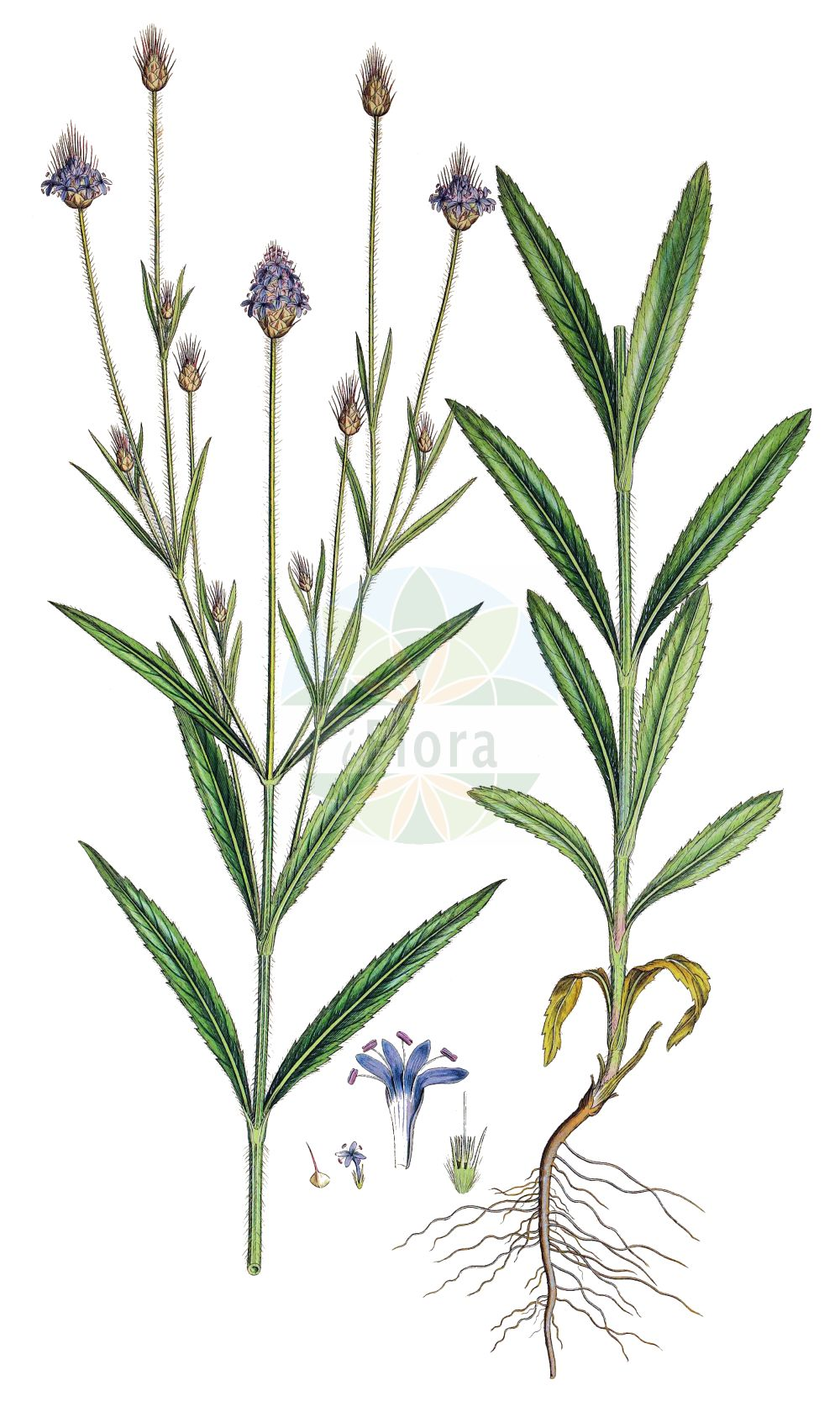 Historische Abbildung von Cephalaria syriaca. Das Bild zeigt Blatt, Bluete, Frucht und Same. ---- Historical Drawing of Cephalaria syriaca.The image is showing leaf, flower, fruit and seed.(Cephalaria syriaca,Cephalaria boissieri,Cephalaria syriaca,Scabiosa dichotoma,Scabiosa syriaca,Cephalaria,Caprifoliaceae,Geissblattgewaechse,Honeysuckle family,Blatt,Bluete,Frucht,Same,leaf,flower,fruit,seed,Sibthrop & Smith (1806-1840))