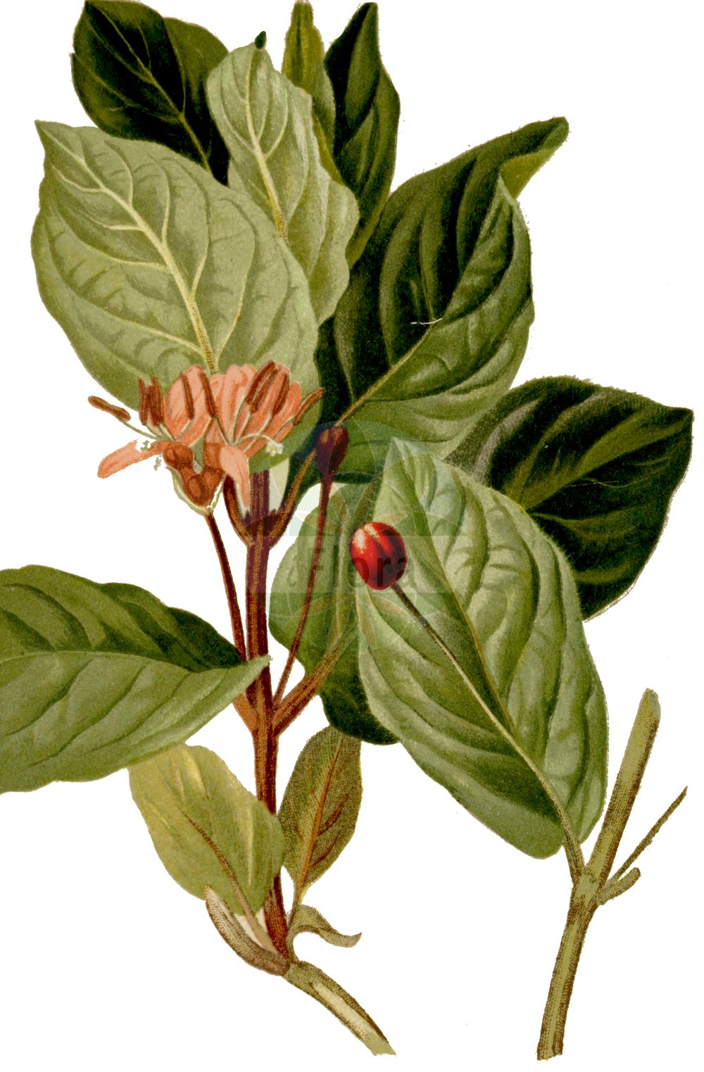 Historische Abbildung von Lonicera alpigena (Alpen-Heckenkirsche - Alpine Honeysuckle). Das Bild zeigt Blatt, Bluete, Frucht und Same. ---- Historical Drawing of Lonicera alpigena (Alpen-Heckenkirsche - Alpine Honeysuckle).The image is showing leaf, flower, fruit and seed.(Lonicera alpigena,Alpen-Heckenkirsche,Alpine Honeysuckle,Lonicera alpigena,Alpen-Heckenkirsche,Alpen-Geissblatt,Alpine Honeysuckle,Cherry Woodbine,Lonicera,Heckenkirsche,Honeysuckle,Caprifoliaceae,Geissblattgewaechse,Honeysuckle family,Blatt,Bluete,Frucht,Same,leaf,flower,fruit,seed,Hartinger & von Dalla Torre (1806f))