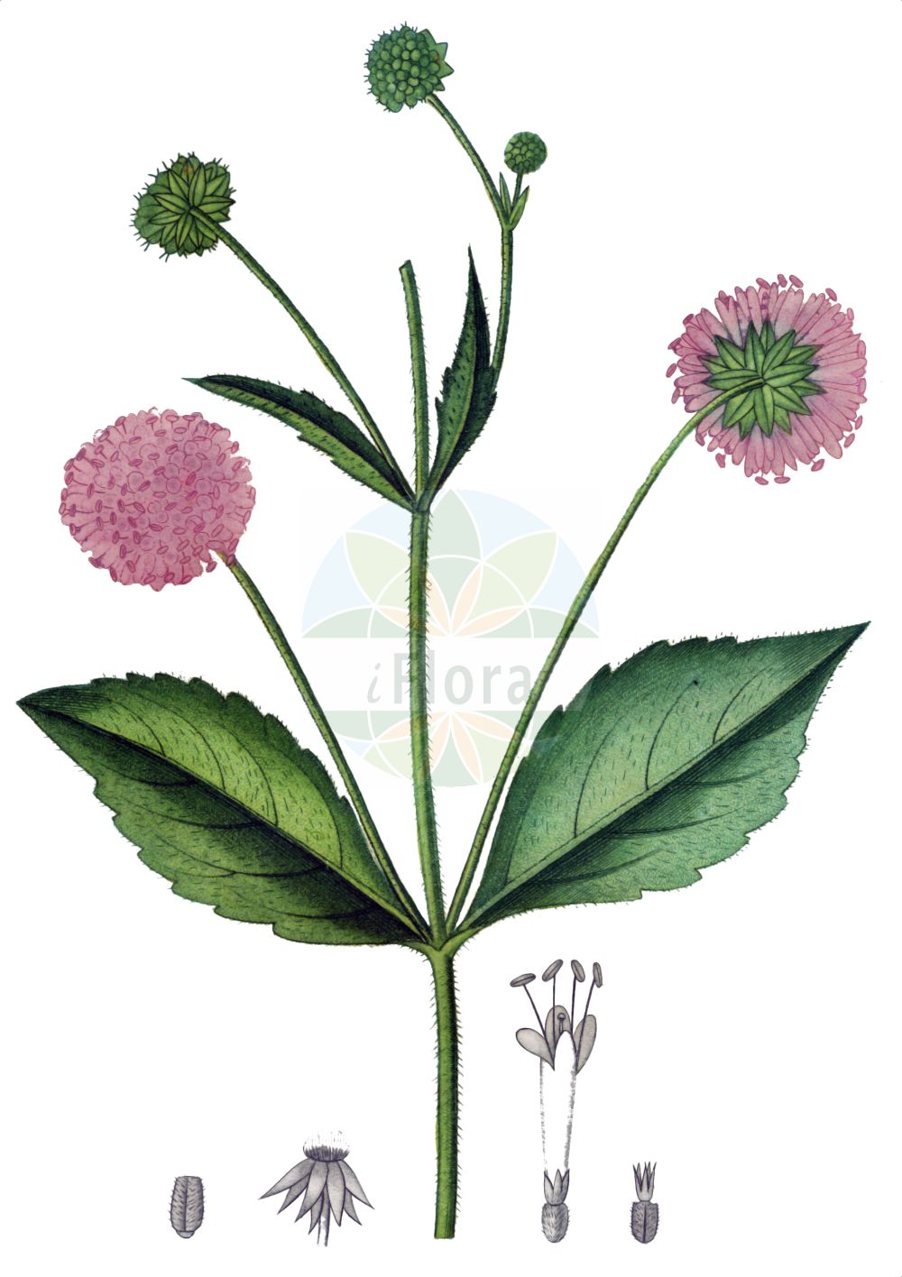 Historische Abbildung von Knautia drymeia (Ungarische Witwenblume - Hungarian Scabious). Das Bild zeigt Blatt, Bluete, Frucht und Same. ---- Historical Drawing of Knautia drymeia (Ungarische Witwenblume - Hungarian Scabious).The image is showing leaf, flower, fruit and seed.(Knautia drymeia,Ungarische Witwenblume,Hungarian Scabious,Knautia drymeia,Scabiosa sylvatica,Ungarische Witwenblume,Breitblaettrige Ungarische Witwenblume,Hungarian Scabious,Knautia,Witwenblume,Scabious,Caprifoliaceae,Geissblattgewaechse,Honeysuckle family,Blatt,Bluete,Frucht,Same,leaf,flower,fruit,seed,de Saint-Hilaire (1808-1822))