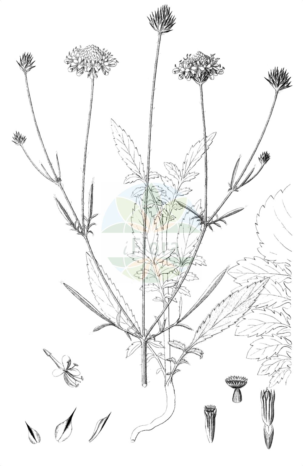 Historische Abbildung von Cephalaria transsylvanica. Das Bild zeigt Blatt, Bluete, Frucht und Same. ---- Historical Drawing of Cephalaria transsylvanica.The image is showing leaf, flower, fruit and seed.(Cephalaria transsylvanica,Cephalaria allionii,Cephalaria transsylvanica,Cephalaria,Caprifoliaceae,Geissblattgewaechse,Honeysuckle family,Blatt,Bluete,Frucht,Same,leaf,flower,fruit,seed,Reichenbach (1823-1832))