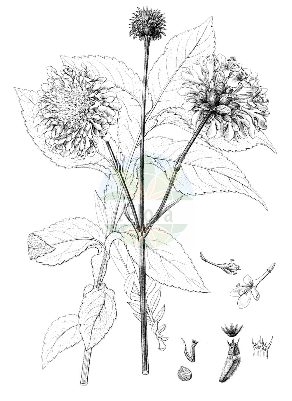 Historische Abbildung von Cephalaria gigantea. Das Bild zeigt Blatt, Bluete, Frucht und Same. ---- Historical Drawing of Cephalaria gigantea.The image is showing leaf, flower, fruit and seed.(Cephalaria gigantea,Cephalaria gigantea,Cephalaria tatarica,Scabiosa gigantea,Cephalaria,Caprifoliaceae,Geissblattgewaechse,Honeysuckle family,Blatt,Bluete,Frucht,Same,leaf,flower,fruit,seed,Reichenbach (1823-1832))