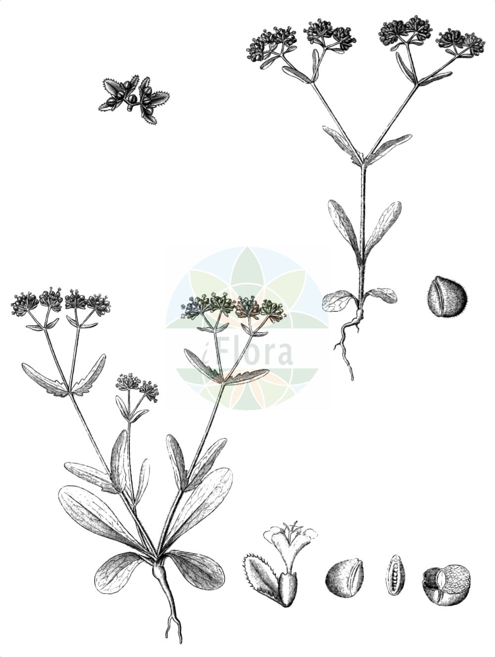 Historische Abbildung von Valerianella locusta (Gewoehnlicher Feldsalat - Common Cornsalad). Das Bild zeigt Blatt, Bluete, Frucht und Same. ---- Historical Drawing of Valerianella locusta (Gewoehnlicher Feldsalat - Common Cornsalad).The image is showing leaf, flower, fruit and seed.(Valerianella locusta,Gewoehnlicher Feldsalat,Common Cornsalad,Valeriana locusta,Valerianella locusta,Valerianella olitoria,Gewoehnlicher Feldsalat,Ackersalat,Echter Feldsalat,Rapunzel,Sonnenwirbele,Common Cornsalad,Lewiston Cornsalad,European Corn Salad,Cornsalad,Lamb's Lettuce,Valerianella,Rapunzel,Cornsalad,Caprifoliaceae,Geissblattgewaechse,Honeysuckle family,Blatt,Bluete,Frucht,Same,leaf,flower,fruit,seed,Reichenbach (1823-1832))