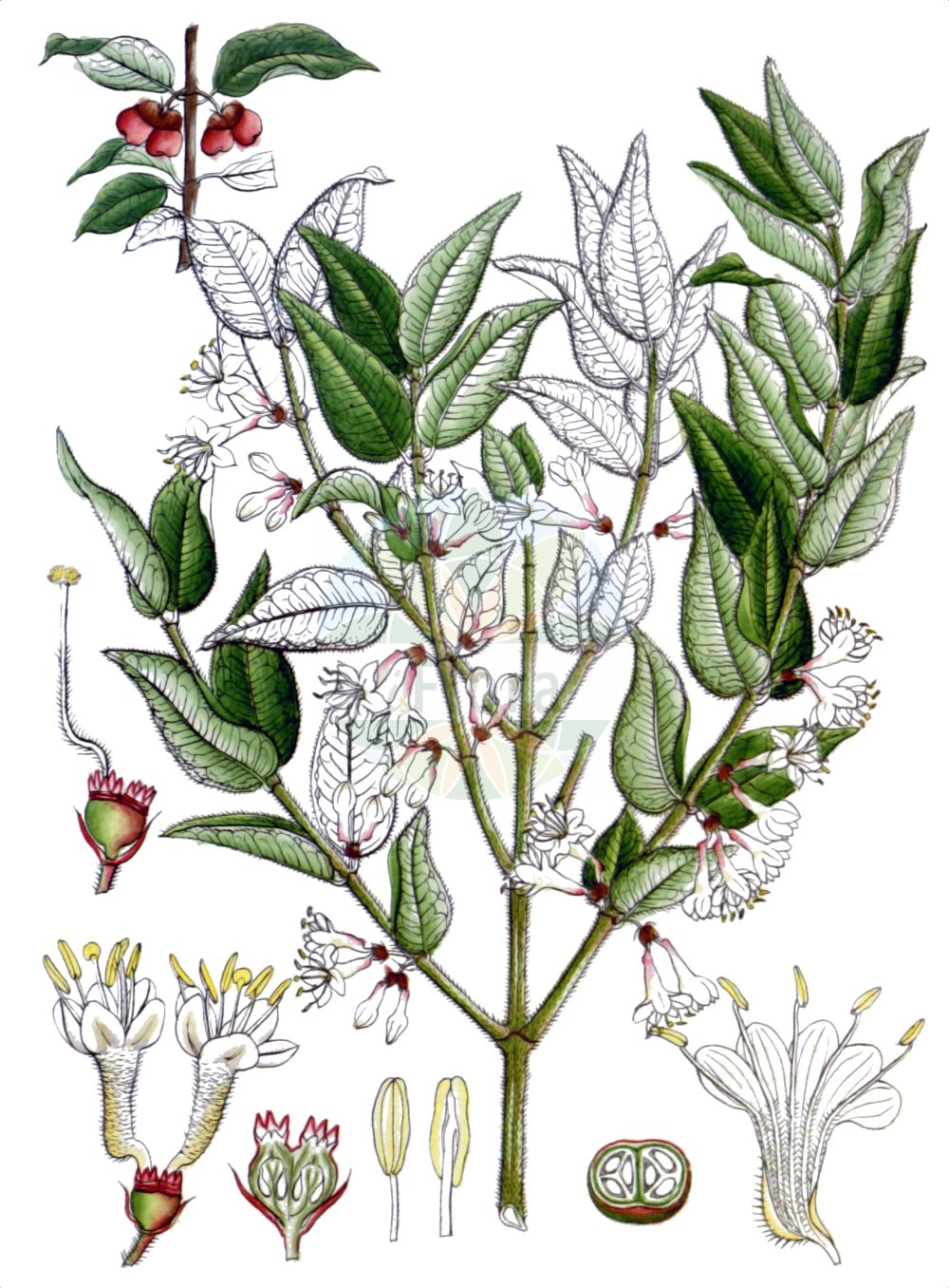 Historische Abbildung von Lonicera nitida. Das Bild zeigt Blatt, Bluete, Frucht und Same. ---- Historical Drawing of Lonicera nitida.The image is showing leaf, flower, fruit and seed.(Lonicera nitida,Lonicera nitida,Lonicera,Heckenkirsche,Honeysuckle,Caprifoliaceae,Geissblattgewaechse,Honeysuckle family,Blatt,Bluete,Frucht,Same,leaf,flower,fruit,seed,Wight (1840-1850))