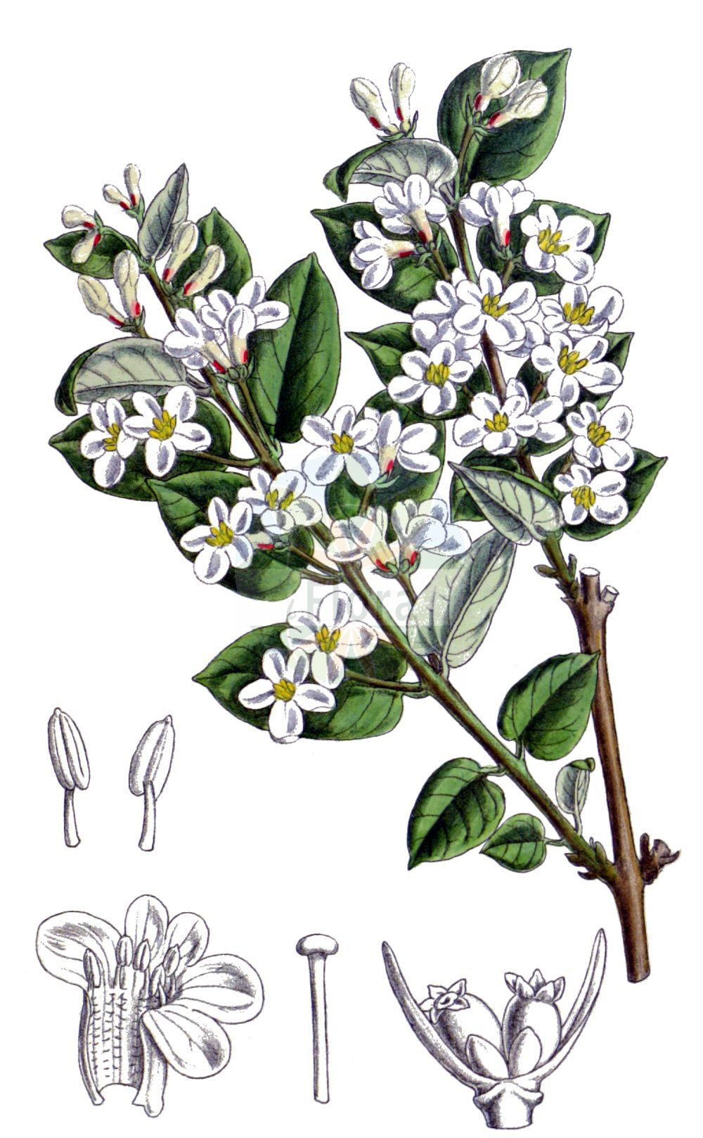 Historische Abbildung von Lonicera tatarica. Das Bild zeigt Blatt, Bluete, Frucht und Same. ---- Historical Drawing of Lonicera tatarica.The image is showing leaf, flower, fruit and seed.(Lonicera tatarica,Lonicera benjaminii,Lonicera tatarica,Lonicera,Heckenkirsche,Honeysuckle,Caprifoliaceae,Geissblattgewaechse,Honeysuckle family,Blatt,Bluete,Frucht,Same,leaf,flower,fruit,seed,Smith (1854-1926))