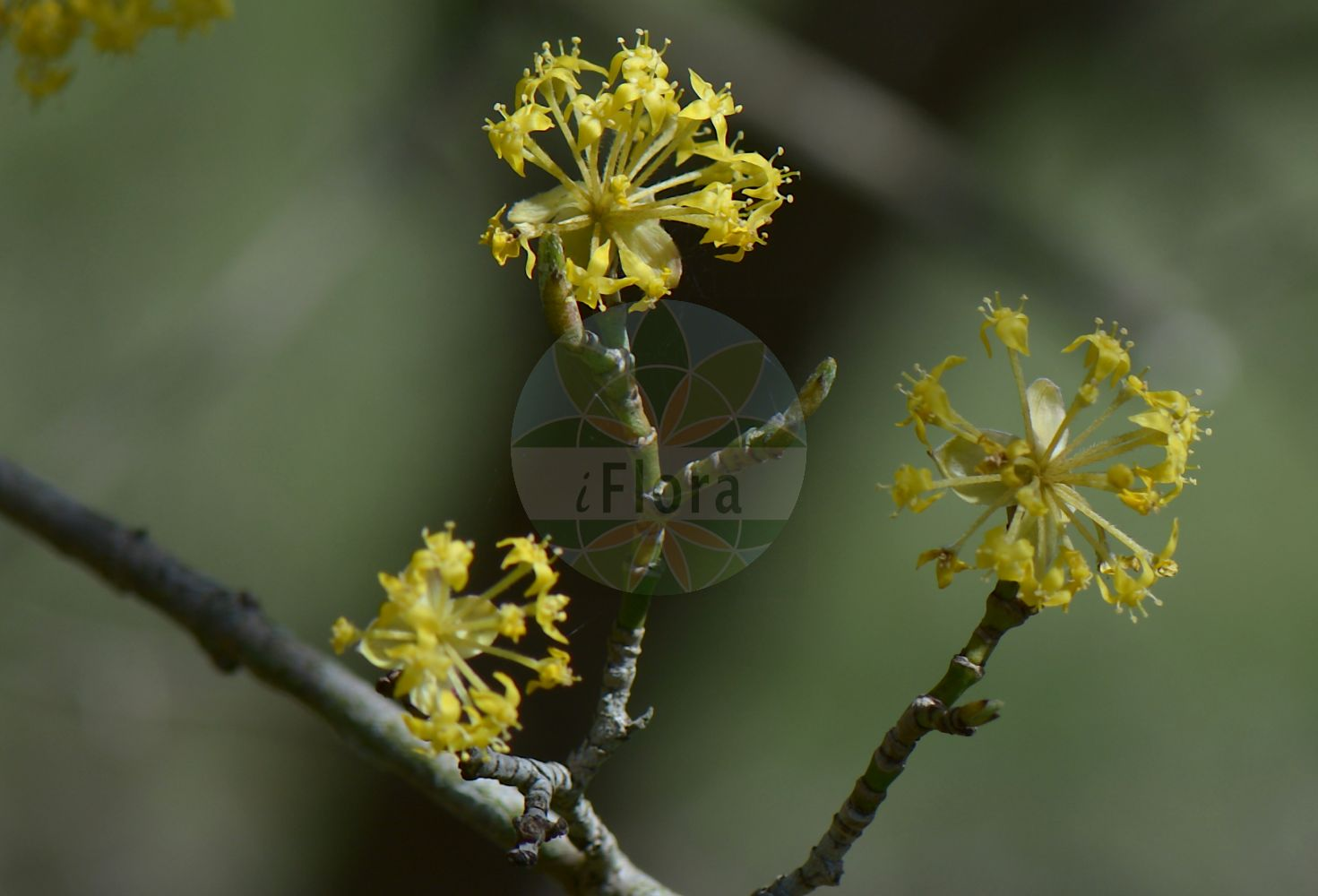 Foto von Cornus mas (Kornelkirsche - Cornelian-cherry). Das Bild zeigt Zweig und Bluete. Das Foto wurde in Goettingen, Niedersachsen, Deutschland aufgenommen. ---- Photo of Cornus mas (Kornelkirsche - Cornelian-cherry).The image is showing twig and flower.The picture was taken in Goettingen, Lower Saxony, Germany.(Cornus mas,Kornelkirsche,Cornelian-cherry,Cornus erythrocarpa,Cornus flava,Cornus homerica,cula,Cornus nudiflora,Cornus praecox,Cornus vernalis,Eukrania mascula,Macrocarpium mas,Gelber Hartriegel,Gelber Hornstrauch,Gelb-Hartriegel,Herlitze,Cornel Cherry,Dogwood,Male Dogwood,Cornus,Hartriegel,Cornel,Cornaceae,Hartriegelgewaechse,Dogwood family,Zweig,Bluete,twig,flower)