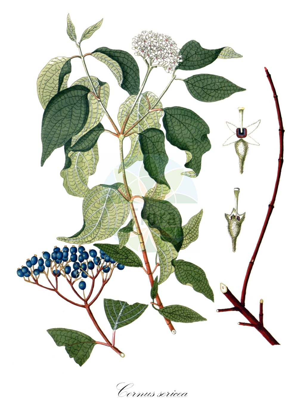 Historische Abbildung von Cornus sericea (Weisser Hartriegel - Red-osier Dogwood). Das Bild zeigt Blatt, Bluete, Frucht und Same. ---- Historical Drawing of Cornus sericea (Weisser Hartriegel - Red-osier Dogwood).The image is showing leaf, flower, fruit and seed.(Cornus sericea,Weisser Hartriegel,Red-osier Dogwood,Swida sericea,Thelycrania sericea,Cornus,Hartriegel,Cornel,Cornaceae,Hartriegelgewaechse,Dogwood family,Blatt,Bluete,Frucht,Same,leaf,flower,fruit,seed,Krauss (1802f))