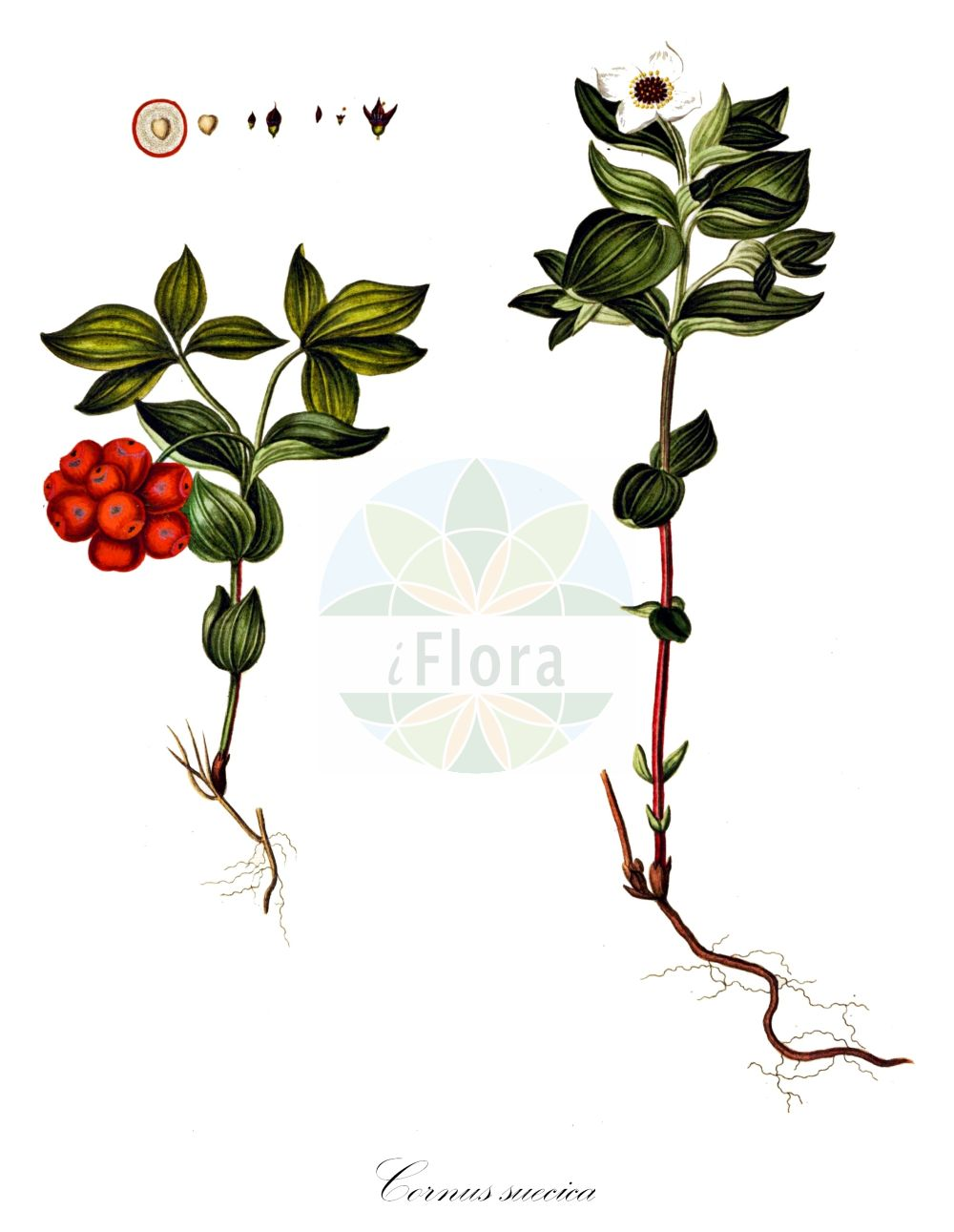 Historische Abbildung von Cornus suecica (Schwedischer Hartriegel - Dwarf Cornel). Das Bild zeigt Blatt, Bluete, Frucht und Same. ---- Historical Drawing of Cornus suecica (Schwedischer Hartriegel - Dwarf Cornel).The image is showing leaf, flower, fruit and seed.(Cornus suecica,Schwedischer Hartriegel,Dwarf Cornel,Arctocrania suecica,Chamaepericlymenum suecicum,Cornella suecica,Cornus biramis,Cornus borealis,Cornus herbacea,Cornus instolonea,Eukrania suecica,Ossea instolonea,Swida instolonea,Thelycrania instolonea,Lapland Cornel,Cornus,Hartriegel,Cornel,Cornaceae,Hartriegelgewaechse,Dogwood family,Blatt,Bluete,Frucht,Same,leaf,flower,fruit,seed,Oeder (1761-1883))