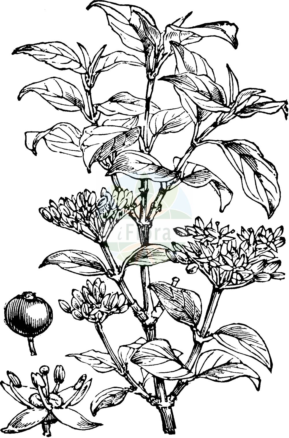 Historische Abbildung von Cornus sanguinea (Blutroter Hartriegel - Dogwood). Das Bild zeigt Blatt, Bluete, Frucht und Same. ---- Historical Drawing of Cornus sanguinea (Blutroter Hartriegel - Dogwood).The image is showing leaf, flower, fruit and seed.(Cornus sanguinea,Blutroter Hartriegel,Dogwood,Cornus sanguinea,Swida sanguinea,Thelycrania sanguinea,Blutroter Hartriegel,Roter Hartriegel,Roter Hornstrauch,Rot-Hartriegel,Dogwood,Blood-twig Cornel,Bloodtwig Dogwood,Bloody-twig Dogwood,Common Dogwood,Dogberry,Cornus,Hartriegel,Cornel,Cornaceae,Hartriegelgewaechse,Dogwood family,Blatt,Bluete,Frucht,Same,leaf,flower,fruit,seed,Fitch et al. (1880))