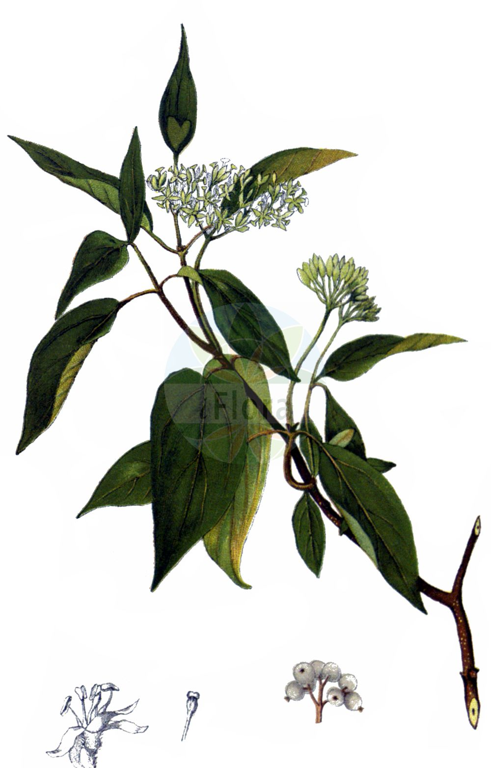 Historische Abbildung von Cornus sericea (Weisser Hartriegel - Red-osier Dogwood). Das Bild zeigt Blatt, Bluete, Frucht und Same. ---- Historical Drawing of Cornus sericea (Weisser Hartriegel - Red-osier Dogwood).The image is showing leaf, flower, fruit and seed.(Cornus sericea,Weisser Hartriegel,Red-osier Dogwood,Cornus sericea,Swida sericea,Thelycrania sericea,Weisser Hartriegel,Red-osier Dogwood,Cornus,Hartriegel,Cornel,Cornaceae,Hartriegelgewaechse,Dogwood family,Blatt,Bluete,Frucht,Same,leaf,flower,fruit,seed,Millspaugh (1892))