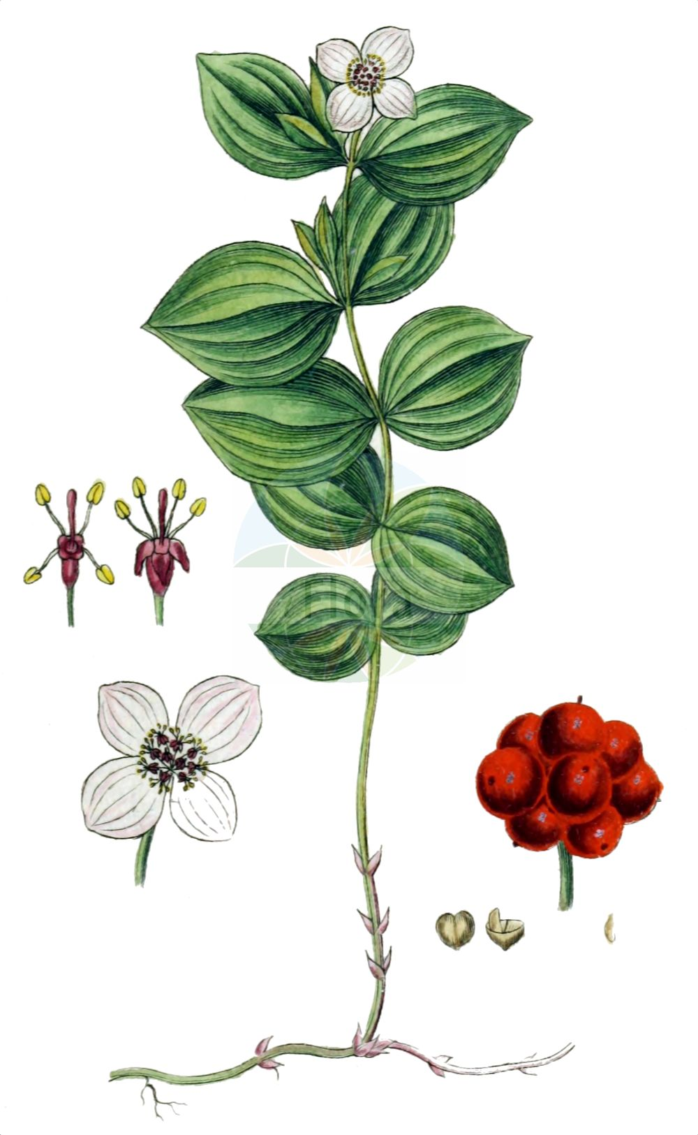 Historische Abbildung von Cornus suecica (Schwedischer Hartriegel - Dwarf Cornel). Das Bild zeigt Blatt, Bluete, Frucht und Same. ---- Historical Drawing of Cornus suecica (Schwedischer Hartriegel - Dwarf Cornel).The image is showing leaf, flower, fruit and seed.(Cornus suecica,Schwedischer Hartriegel,Dwarf Cornel,Arctocrania suecica,Chamaepericlymenum suecicum,Cornella suecica,Cornus biramis,Cornus borealis,Cornus herbacea,Cornus instolonea,Cornus suecica,Eukrania suecica,Ossea instolonea,Swida instolonea,Thelycrania instolonea,Schwedischer Hartriegel,Dwarf Cornel,Lapland Cornel,Cornus,Hartriegel,Cornel,Cornaceae,Hartriegelgewaechse,Dogwood family,Blatt,Bluete,Frucht,Same,leaf,flower,fruit,seed,Sturm (1796f))