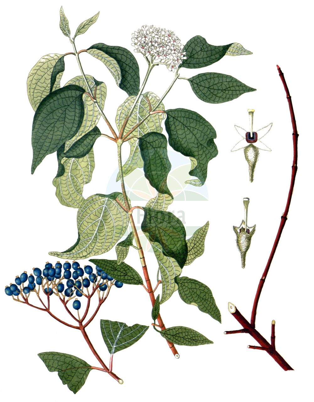 Historische Abbildung von Cornus sericea (Weisser Hartriegel - Red-osier Dogwood). Das Bild zeigt Blatt, Bluete, Frucht und Same. ---- Historical Drawing of Cornus sericea (Weisser Hartriegel - Red-osier Dogwood).The image is showing leaf, flower, fruit and seed.(Cornus sericea,Weisser Hartriegel,Red-osier Dogwood,Cornus sericea,Swida sericea,Thelycrania sericea,Weisser Hartriegel,Red-osier Dogwood,Cornus,Hartriegel,Cornel,Cornaceae,Hartriegelgewaechse,Dogwood family,Blatt,Bluete,Frucht,Same,leaf,flower,fruit,seed,Krauss (1802f))