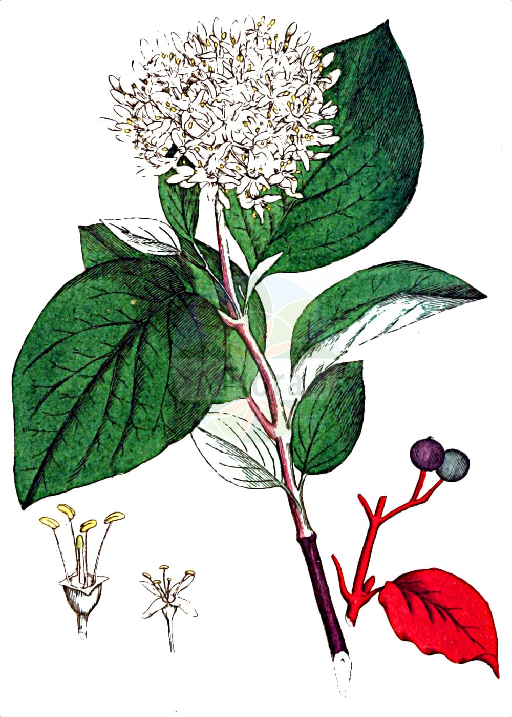 Historische Abbildung von Cornus sanguinea (Blutroter Hartriegel - Dogwood). Das Bild zeigt Blatt, Bluete, Frucht und Same. ---- Historical Drawing of Cornus sanguinea (Blutroter Hartriegel - Dogwood).The image is showing leaf, flower, fruit and seed.(Cornus sanguinea,Blutroter Hartriegel,Dogwood,Cornus sanguinea,Swida sanguinea,Thelycrania sanguinea,Blutroter Hartriegel,Roter Hartriegel,Roter Hornstrauch,Rot-Hartriegel,Dogwood,Blood-twig Cornel,Bloodtwig Dogwood,Bloody-twig Dogwood,Common Dogwood,Dogberry,Cornus,Hartriegel,Cornel,Cornaceae,Hartriegelgewaechse,Dogwood family,Blatt,Bluete,Frucht,Same,leaf,flower,fruit,seed,Palmstruch (1807-1843))