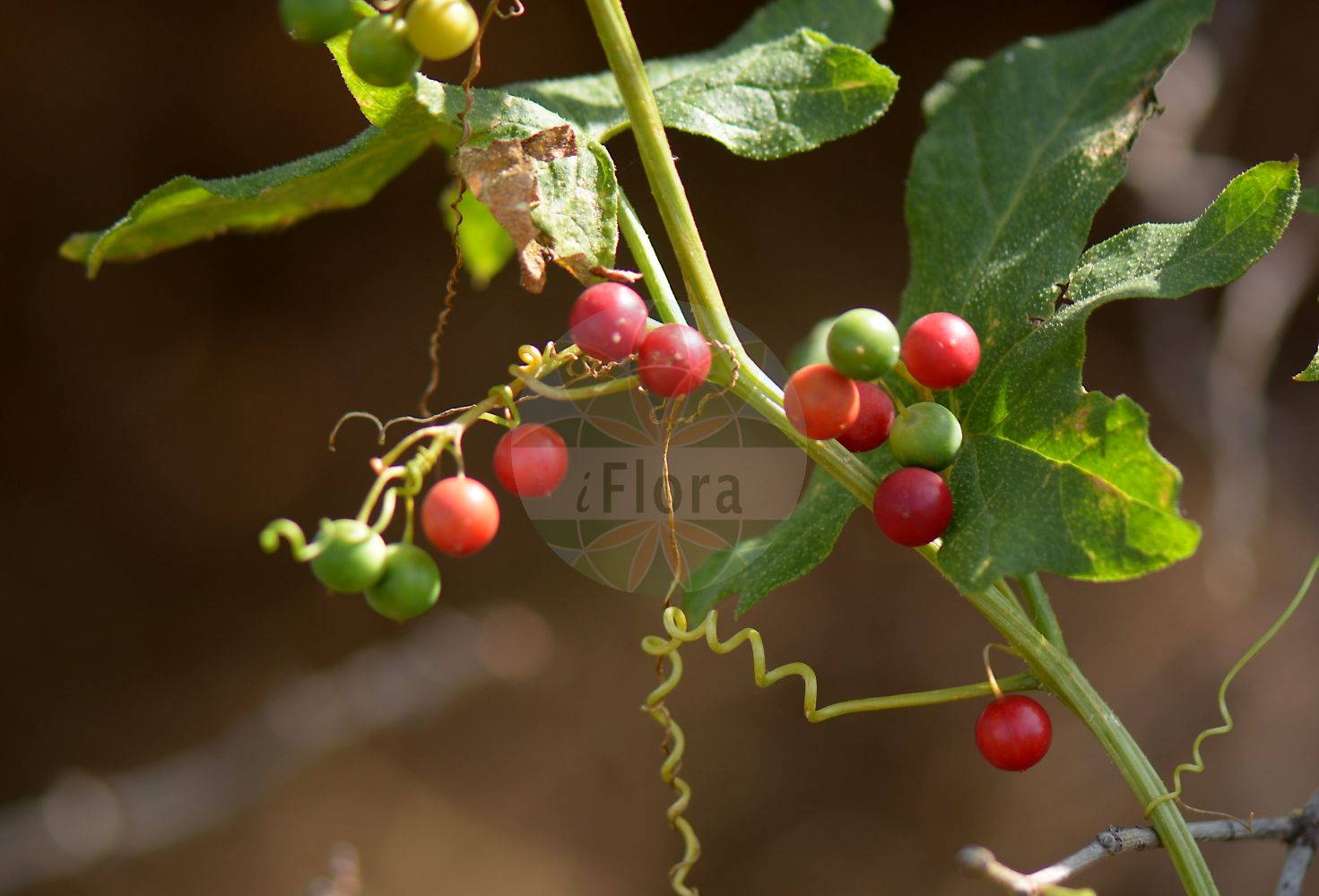 Foto von Bryonia dioica (Rotfruechtige Zaunruebe - White Bryony). Das Bild zeigt Blatt und Frucht. Das Foto wurde in Sindlingen, Frankfurt, Hessen, Deutschland, Oberrheinisches Tiefland und Rhein-Main-Ebene aufgenommen. ---- Photo of Bryonia dioica (Rotfruechtige Zaunruebe - White Bryony).The image is showing leaf and fruit.The picture was taken in Sindlingen, Frankfurt, Hesse, Germany, Oberrheinisches Tiefland and Rhein-Main-Ebene.(Bryonia dioica,Rotfruechtige Zaunruebe,White Bryony,Bryonia digyna,Bryonia sicula,Rotbeerige Zaunruebe,Rote Zaunruebe,Common Bryony,Cretan Bryony,Red-berried Bryony,Red-berry Bryony,Red Bryony,Bryonia,Zaunruebe,Bryony,Cucurbitaceae,Kuerbisgewaechse,Cucurbit family,Blatt,Frucht,leaf,fruit)