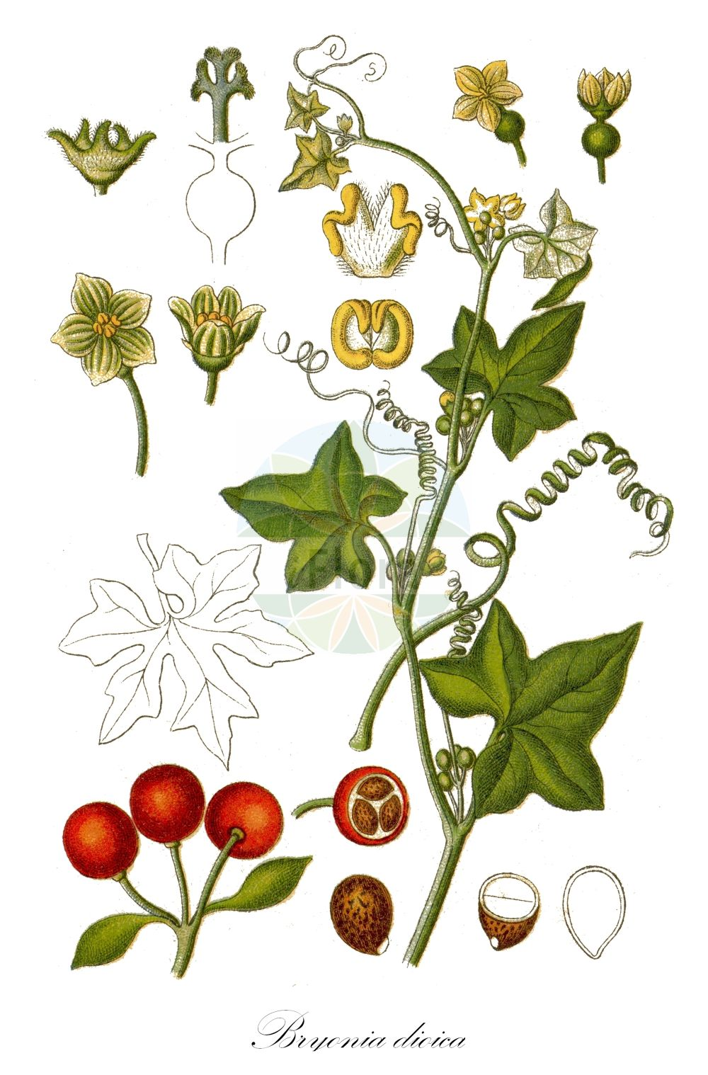 Historische Abbildung von Bryonia dioica (Rotfruechtige Zaunruebe - White Bryony). Das Bild zeigt Blatt, Bluete, Frucht und Same. ---- Historical Drawing of Bryonia dioica (Rotfruechtige Zaunruebe - White Bryony).The image is showing leaf, flower, fruit and seed.(Bryonia dioica,Rotfruechtige Zaunruebe,White Bryony,Bryonia digyna,Bryonia sicula,Rotbeerige Zaunruebe,Rote Zaunruebe,Common Bryony,Cretan Bryony,Red-berried Bryony,Red-berry Bryony,Red Bryony,Bryonia,Zaunruebe,Bryony,Cucurbitaceae,Kuerbisgewaechse,Cucurbit family,Blatt,Bluete,Frucht,Same,leaf,flower,fruit,seed,Sturm (1796f))