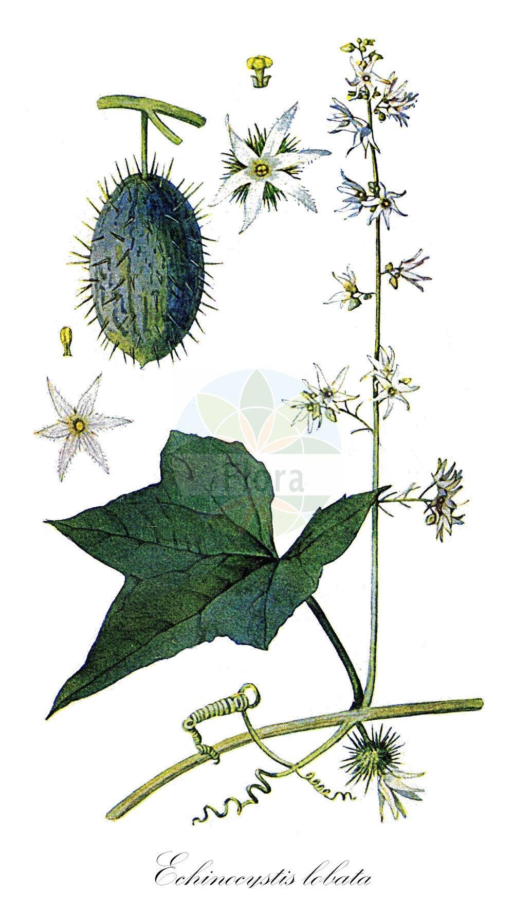 Historische Abbildung von Echinocystis lobata (Stachelgurke - Wild Cucumber). Das Bild zeigt Blatt, Bluete, Frucht und Same. ---- Historical Drawing of Echinocystis lobata (Stachelgurke - Wild Cucumber).The image is showing leaf, flower, fruit and seed.(Echinocystis lobata,Stachelgurke,Wild Cucumber,Echinocystis echinata,Sicyos lobatus,Gelappte Igelgurke,Wild Balsam Apple,Echinocystis,Stachelgurke,Wild Cucumber,Cucurbitaceae,Kuerbisgewaechse,Cucurbit family,Blatt,Bluete,Frucht,Same,leaf,flower,fruit,seed,Eaton (1916))