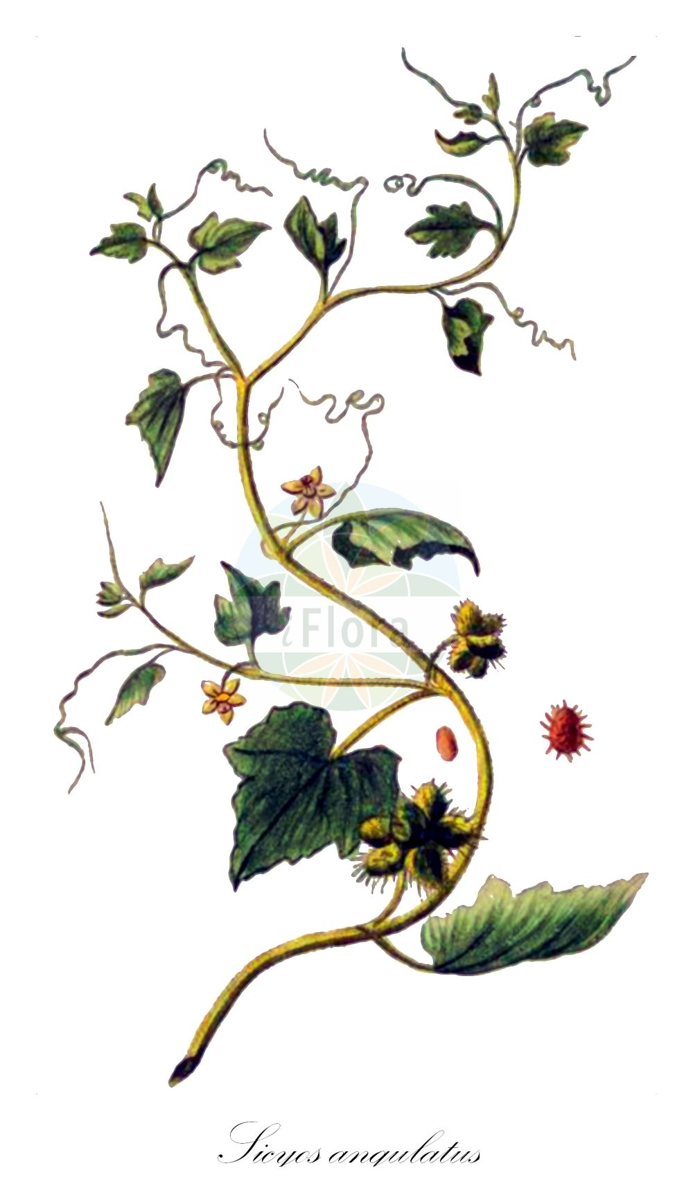 Historische Abbildung von Sicyos angulatus. Das Bild zeigt Blatt, Bluete, Frucht und Same. ---- Historical Drawing of Sicyos angulatus.The image is showing leaf, flower, fruit and seed.(Sicyos angulatus,Sicyos,Cucurbitaceae,Kuerbisgewaechse,Cucurbit family,Blatt,Bluete,Frucht,Same,leaf,flower,fruit,seed,Bonelli (1771-1793))