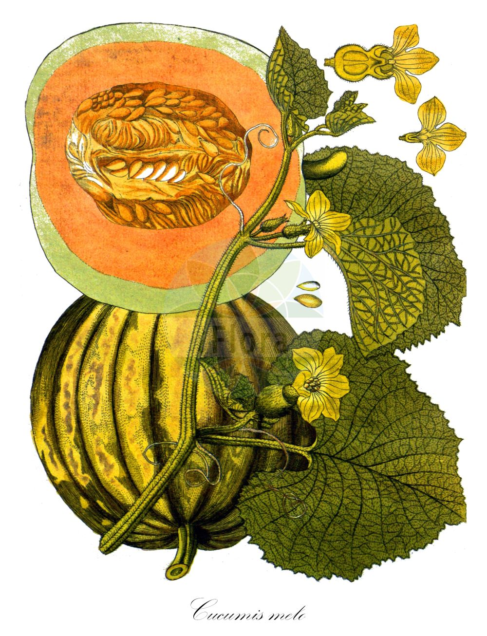 Historische Abbildung von Cucumis melo. Das Bild zeigt Blatt, Bluete, Frucht und Same. ---- Historical Drawing of Cucumis melo.The image is showing leaf, flower, fruit and seed.(Cucumis melo,Citrullus melo,Cucumis acidus,Cucumis callosus,Cucumis chate,Cucumis dudaim,Cucumis flexuosus,Cucumis trigonus,Melo agrestis,Melo dudaim,Melo sativus,Cucumis,Cucurbitaceae,Kuerbisgewaechse,Cucurbit family,Blatt,Bluete,Frucht,Same,leaf,flower,fruit,seed,Vietz (1800-1822))