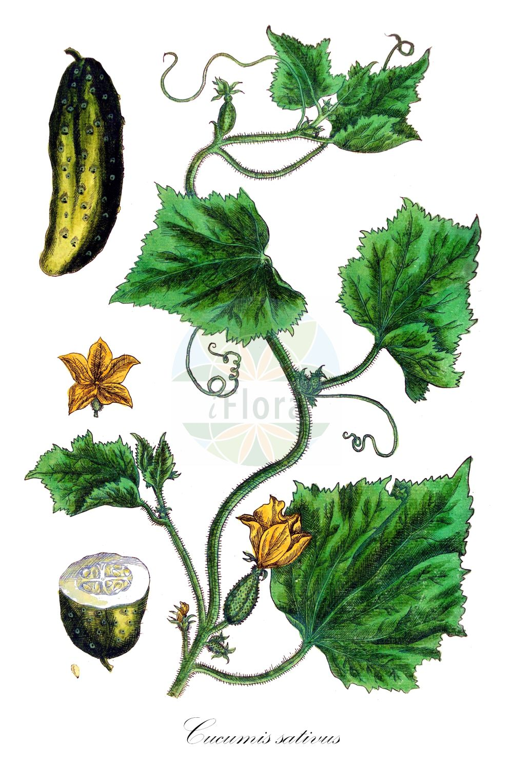 Historische Abbildung von Cucumis sativus. Das Bild zeigt Blatt, Bluete, Frucht und Same. ---- Historical Drawing of Cucumis sativus.The image is showing leaf, flower, fruit and seed.(Cucumis sativus,Cucumis esculentus,,Cucumis,Cucurbitaceae,Kuerbisgewaechse,Cucurbit family,Blatt,Bluete,Frucht,Same,leaf,flower,fruit,seed,Blackwell (1737-1739))