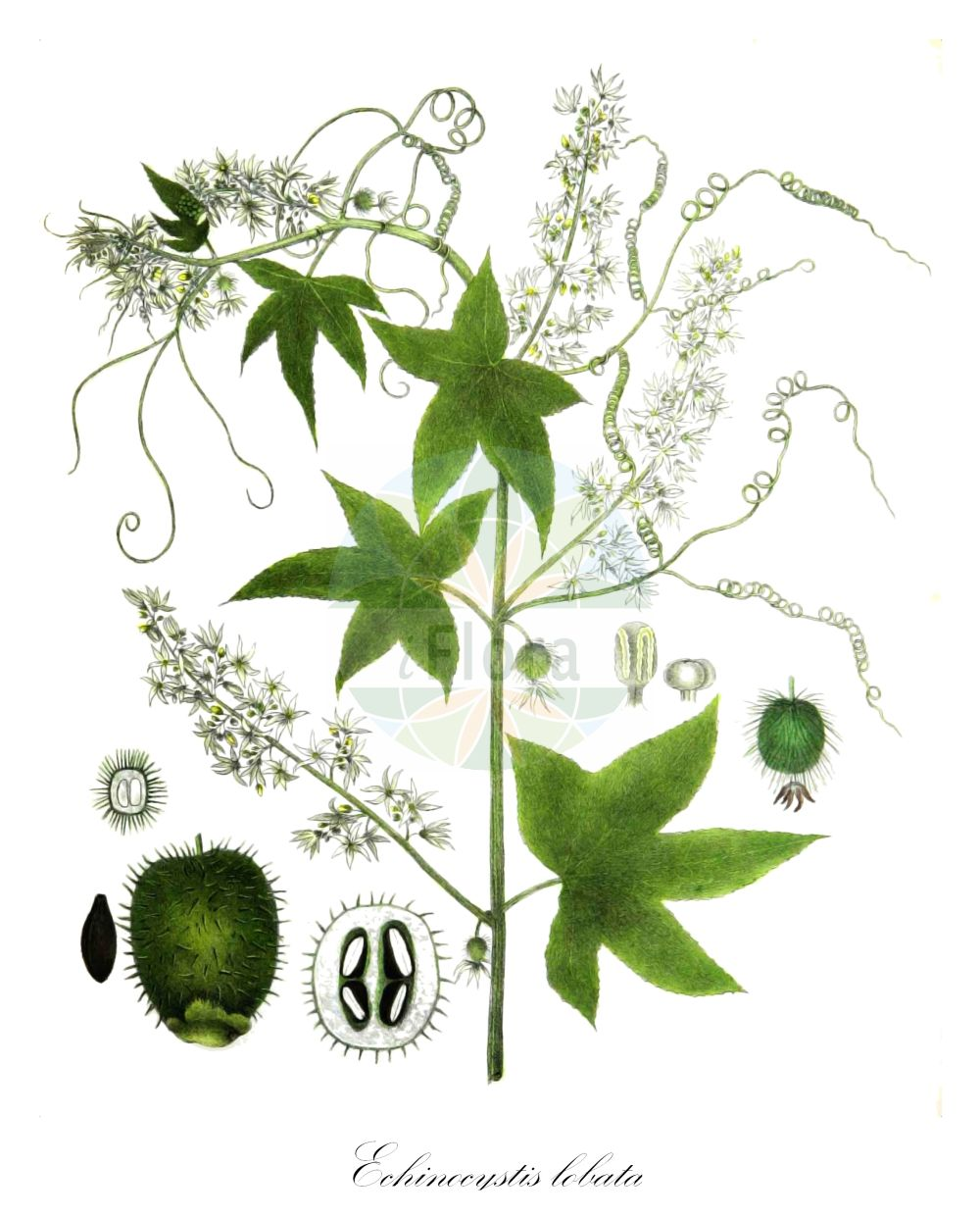 Historische Abbildung von Echinocystis lobata (Stachelgurke - Wild Cucumber). Das Bild zeigt Blatt, Bluete, Frucht und Same. ---- Historical Drawing of Echinocystis lobata (Stachelgurke - Wild Cucumber).The image is showing leaf, flower, fruit and seed.(Echinocystis lobata,Stachelgurke,Wild Cucumber,Echinocystis echinata,Sicyos lobatus,Gelappte Igelgurke,Wild Balsam Apple,Echinocystis,Stachelgurke,Wild Cucumber,Cucurbitaceae,Kuerbisgewaechse,Cucurbit family,Blatt,Bluete,Frucht,Same,leaf,flower,fruit,seed,Torrey (1843))