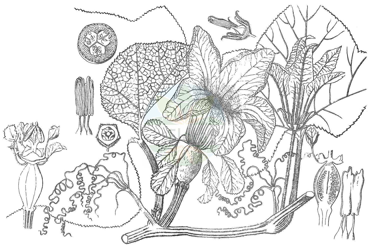Historische Abbildung von Cucurbita maxima. Das Bild zeigt Blatt, Bluete, Frucht und Same. ---- Historical Drawing of Cucurbita maxima.The image is showing leaf, flower, fruit and seed.(Cucurbita maxima,Cucurbita maxima,Cucurbita pileiformis,Cucurbita turbaniformis,Cucurbita,Cucurbitaceae,Kuerbisgewaechse,Cucurbit family,Blatt,Bluete,Frucht,Same,leaf,flower,fruit,seed,Kirtikar & Basu (1918))