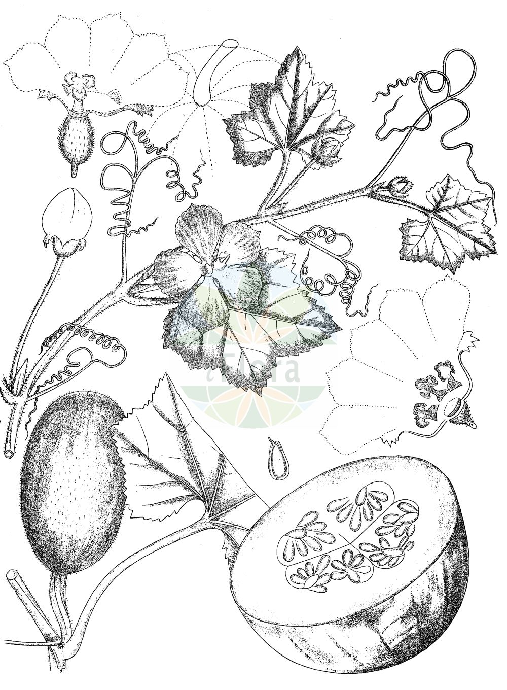 Historische Abbildung von Cucurbita pepo. Das Bild zeigt Blatt, Bluete, Frucht und Same. ---- Historical Drawing of Cucurbita pepo.The image is showing leaf, flower, fruit and seed.(Cucurbita pepo,Cucurbita aurantia,Cucurbita clodiensis,Cucurbita melopepo,Cucurbita oblonga,Cucurbita ovifera,Cucurbita pepo,Cucurbita verrucosa,Cucurbita,Cucurbitaceae,Kuerbisgewaechse,Cucurbit family,Blatt,Bluete,Frucht,Same,leaf,flower,fruit,seed,Kirtikar & Basu (1918))