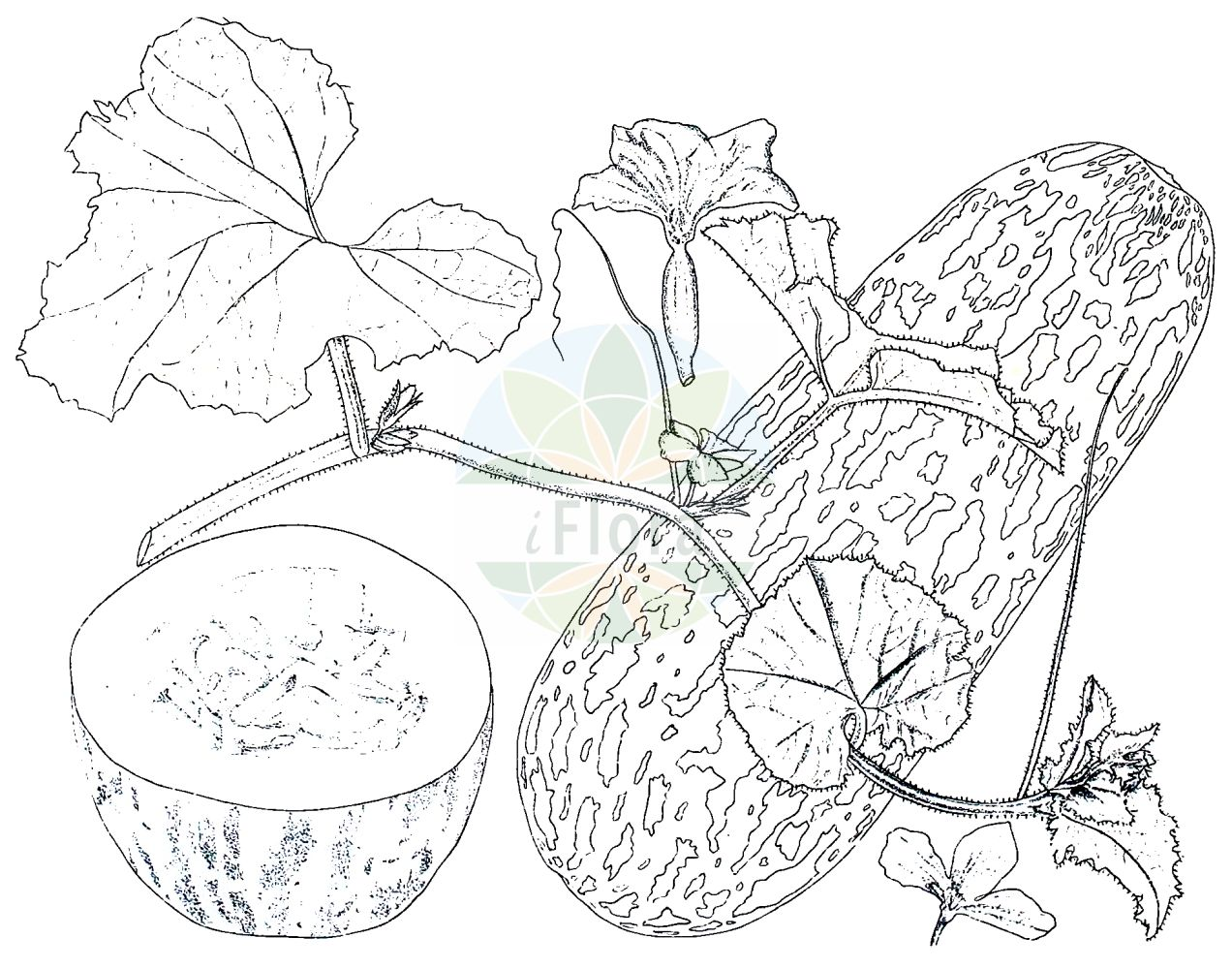Historische Abbildung von Cucumis melo. Das Bild zeigt Blatt, Bluete, Frucht und Same. ---- Historical Drawing of Cucumis melo.The image is showing leaf, flower, fruit and seed.(Cucumis melo,Citrullus melo,Cucumis acidus,Cucumis callosus,Cucumis chate,Cucumis dudaim,Cucumis flexuosus,Cucumis melo,Cucumis trigonus,Melo agrestis,Melo dudaim,Melo sativus,Cucumis,Cucurbitaceae,Kuerbisgewaechse,Cucurbit family,Blatt,Bluete,Frucht,Same,leaf,flower,fruit,seed,Kirtikar & Basu (1918))