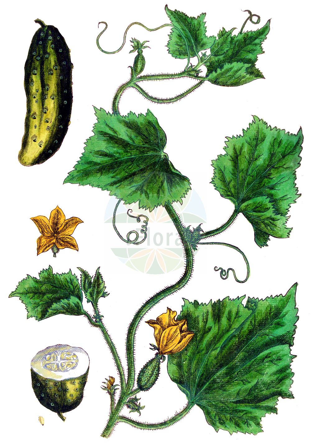 Historische Abbildung von Cucumis sativus. Das Bild zeigt Blatt, Bluete, Frucht und Same. ---- Historical Drawing of Cucumis sativus.The image is showing leaf, flower, fruit and seed.(Cucumis sativus,Cucumis esculentus,Cucumis sativus,Cucumis,Cucurbitaceae,Kuerbisgewaechse,Cucurbit family,Blatt,Bluete,Frucht,Same,leaf,flower,fruit,seed,Blackwell (1737-1739))