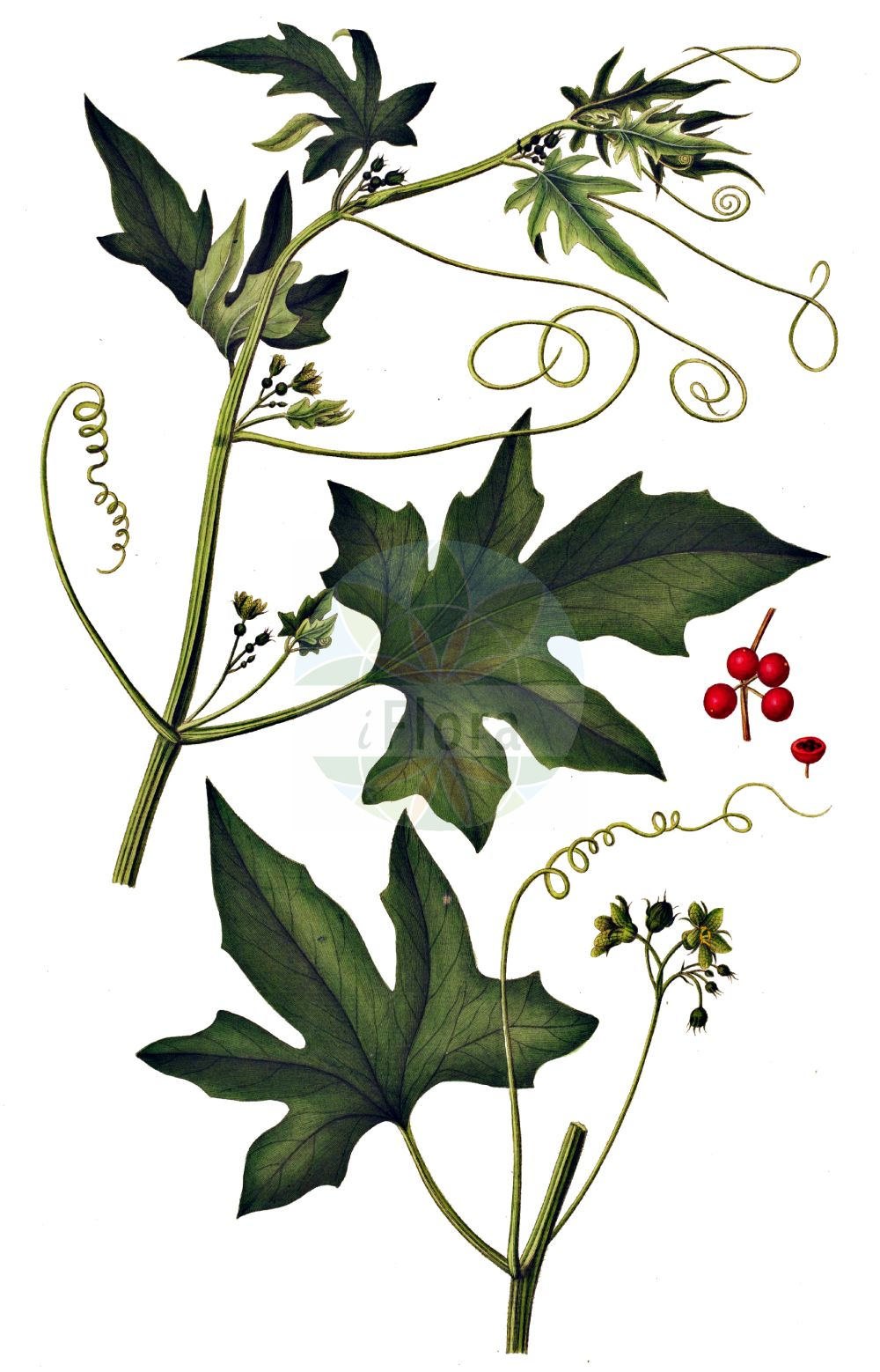 Historische Abbildung von Bryonia dioica (Rotfruechtige Zaunruebe - White Bryony). Das Bild zeigt Blatt, Bluete, Frucht und Same. ---- Historical Drawing of Bryonia dioica (Rotfruechtige Zaunruebe - White Bryony).The image is showing leaf, flower, fruit and seed.(Bryonia dioica,Rotfruechtige Zaunruebe,White Bryony,Bryonia digyna,Bryonia dioica,Bryonia sicula,Rotfruechtige Zaunruebe,Rotbeerige Zaunruebe,Rote Zaunruebe,White Bryony,Common Bryony,Cretan Bryony,Red-berried Bryony,Red-berry Bryony,Red Bryony,Bryonia,Zaunruebe,Bryony,Cucurbitaceae,Kuerbisgewaechse,Cucurbit family,Blatt,Bluete,Frucht,Same,leaf,flower,fruit,seed,Oeder (1761-1883))