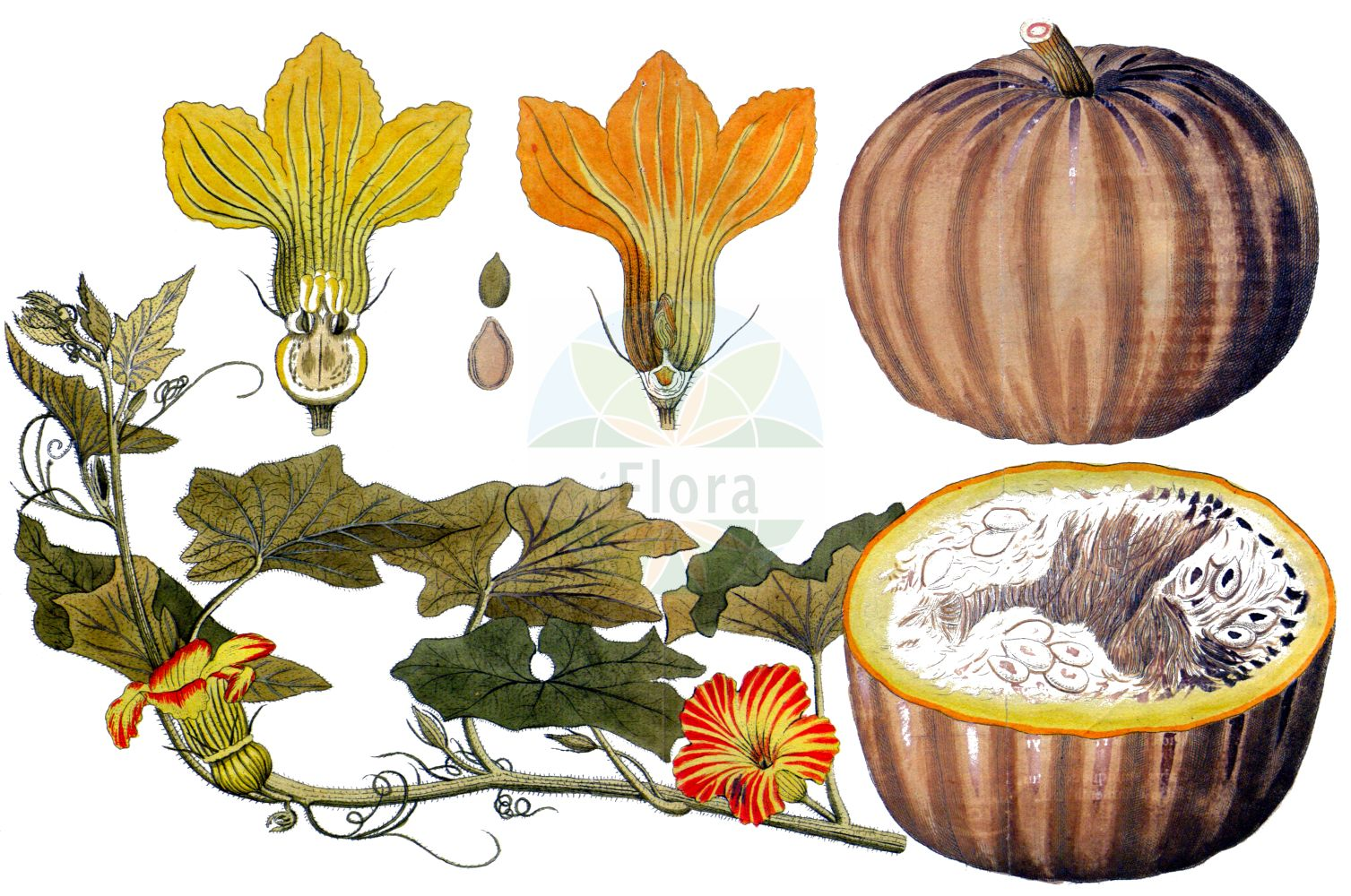 Historische Abbildung von Cucurbita pepo. Das Bild zeigt Blatt, Bluete, Frucht und Same. ---- Historical Drawing of Cucurbita pepo.The image is showing leaf, flower, fruit and seed.(Cucurbita pepo,Cucurbita aurantia,Cucurbita clodiensis,Cucurbita melopepo,Cucurbita oblonga,Cucurbita ovifera,Cucurbita pepo,Cucurbita verrucosa,Cucurbita,Cucurbitaceae,Kuerbisgewaechse,Cucurbit family,Blatt,Bluete,Frucht,Same,leaf,flower,fruit,seed,Vietz (1800-1822))