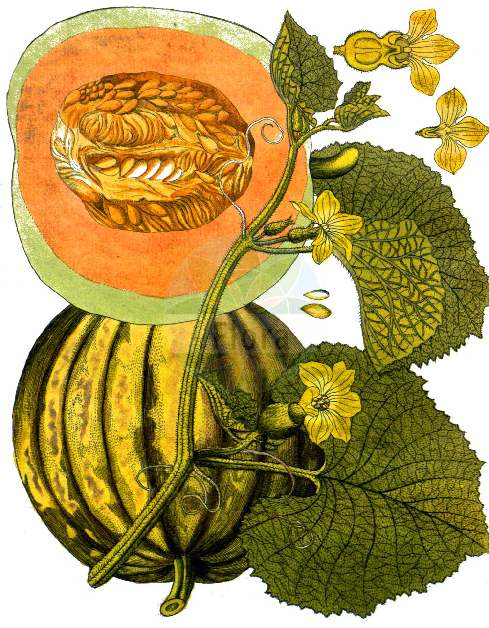 Historische Abbildung von Cucumis melo. Das Bild zeigt Blatt, Bluete, Frucht und Same. ---- Historical Drawing of Cucumis melo.The image is showing leaf, flower, fruit and seed.(Cucumis melo,Citrullus melo,Cucumis acidus,Cucumis callosus,Cucumis chate,Cucumis dudaim,Cucumis flexuosus,Cucumis melo,Cucumis trigonus,Melo agrestis,Melo dudaim,Melo sativus,Cucumis,Cucurbitaceae,Kuerbisgewaechse,Cucurbit family,Blatt,Bluete,Frucht,Same,leaf,flower,fruit,seed,Vietz (1800-1822))