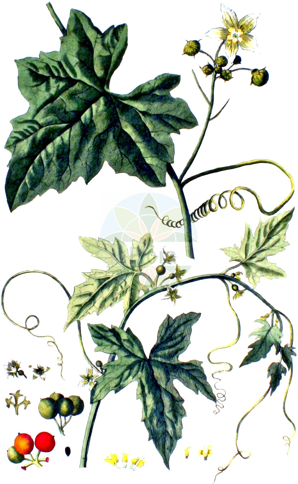 Historische Abbildung von Bryonia dioica (Rotfruechtige Zaunruebe - White Bryony). Das Bild zeigt Blatt, Bluete, Frucht und Same. ---- Historical Drawing of Bryonia dioica (Rotfruechtige Zaunruebe - White Bryony).The image is showing leaf, flower, fruit and seed.(Bryonia dioica,Rotfruechtige Zaunruebe,White Bryony,Bryonia digyna,Bryonia dioica,Bryonia sicula,Rotfruechtige Zaunruebe,Rotbeerige Zaunruebe,Rote Zaunruebe,White Bryony,Common Bryony,Cretan Bryony,Red-berried Bryony,Red-berry Bryony,Red Bryony,Bryonia,Zaunruebe,Bryony,Cucurbitaceae,Kuerbisgewaechse,Cucurbit family,Blatt,Bluete,Frucht,Same,leaf,flower,fruit,seed,Kops (1800-1934))