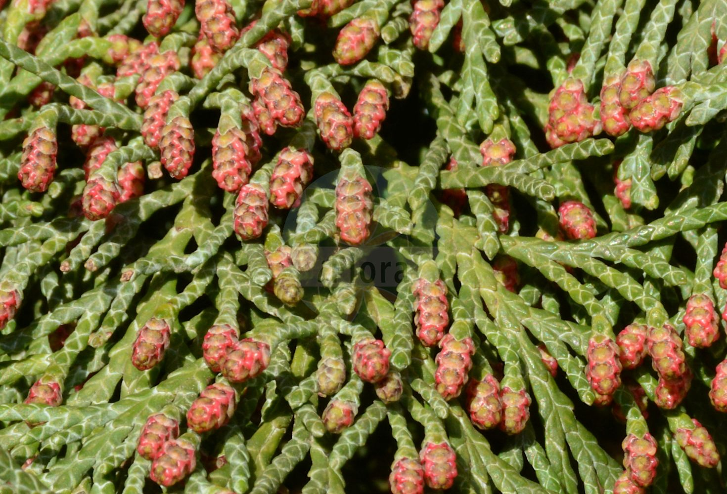 Foto von Chamaecyparis lawsoniana (Lawson-Scheinzypresse - Lawson's Cypress). Das Bild zeigt Zweig, Blatt und Bluete. Das Foto wurde in Hamburg, Deutschland aufgenommen. ---- Photo of Chamaecyparis lawsoniana (Lawson-Scheinzypresse - Lawson's Cypress).The image is showing twig, leaf and flower.The picture was taken in Hamburg, Germany.(Chamaecyparis lawsoniana,Lawson-Scheinzypresse,Lawson's Cypress,Cupressus lawsoniana,Lawson False Cypress,Lawson's False Cypress,Oregon Cedar,Oregon Cypress,Port Orford Cedar,Port Orford White Cedar,Chamaecyparis,Scheinzypresse,False Cypress,Cupressaceae,Zypressengewaechse,Cypress family,Zweig,Blatt,Bluete,twig,leaf,flower)