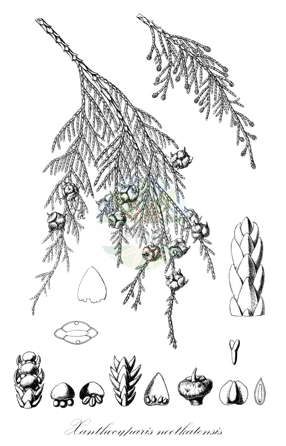 Historische Abbildung von Xanthocyparis nootkatensis (Nootka-Scheinzypresse - Nootka Cypress). Das Bild zeigt Blatt, Bluete, Frucht und Same. ---- Historical Drawing of Xanthocyparis nootkatensis (Nootka-Scheinzypresse - Nootka Cypress).The image is showing leaf, flower, fruit and seed.(Xanthocyparis nootkatensis,Nootka-Scheinzypresse,Nootka Cypress,Chamaecyparis nootkatensis,Cupressus nootkatensis,,Alaska Cypress,Alaska Yellow Cedar,Nootka False Cypress,Yellow Cypress,Xanthocyparis,Cupressaceae,Zypressengewaechse,Cypress family,Blatt,Bluete,Frucht,Same,leaf,flower,fruit,seed,Sargent (1898-1902))