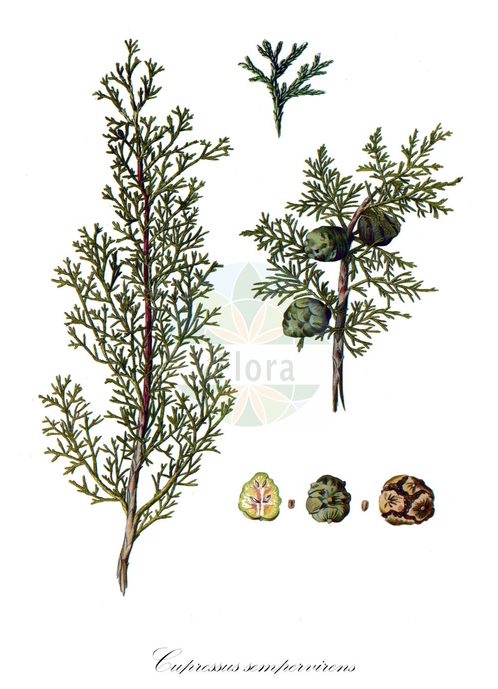 Historische Abbildung von Cupressus sempervirens. Das Bild zeigt Blatt, Bluete, Frucht und Same. ---- Historical Drawing of Cupressus sempervirens.The image is showing leaf, flower, fruit and seed.(Cupressus sempervirens,Cupressus fastigiata,Cupressus horizontalis,Cupressus pyramidalis,var. pyramidalis,Cupressus,Cupressaceae,Zypressengewaechse,Cypress family,Blatt,Bluete,Frucht,Same,leaf,flower,fruit,seed,Pallas (1784))