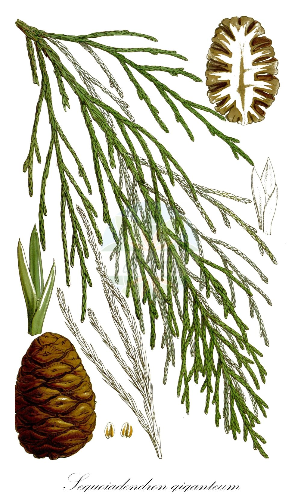 Historische Abbildung von Sequoiadendron giganteum (Riesenmammutbaum - Wellingtonia). Das Bild zeigt Blatt, Bluete, Frucht und Same. ---- Historical Drawing of Sequoiadendron giganteum (Riesenmammutbaum - Wellingtonia).The image is showing leaf, flower, fruit and seed.(Sequoiadendron giganteum,Riesenmammutbaum,Wellingtonia,Wellingtonia gigantea,Big Tree,Giant Redwood,Giant Sequoia,Mammoth Tree,Sierra Redwood,Sequoiadendron,Riesenmammutbaum,Sequoia,Cupressaceae,Zypressengewaechse,Cypress family,Blatt,Bluete,Frucht,Same,leaf,flower,fruit,seed,Fitch (1854))