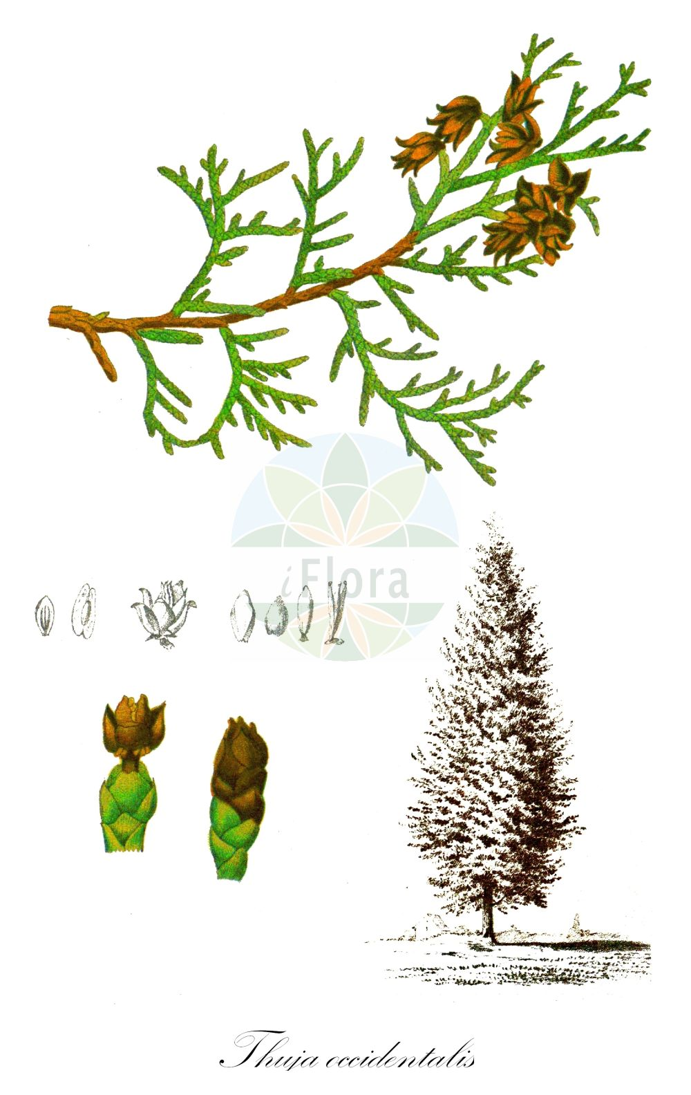 Historische Abbildung von Thuja occidentalis (Abendlaendischer Lebensbaum - Northern White-cedar). Das Bild zeigt Blatt, Bluete, Frucht und Same. ---- Historical Drawing of Thuja occidentalis (Abendlaendischer Lebensbaum - Northern White-cedar).The image is showing leaf, flower, fruit and seed.(Thuja occidentalis,Abendlaendischer Lebensbaum,Northern White-cedar,American Arbor-vitae,Arborvitae,Thuja,Lebensbaum,Cedar,Cupressaceae,Zypressengewaechse,Cypress family,Blatt,Bluete,Frucht,Same,leaf,flower,fruit,seed,Millspaugh (1892))