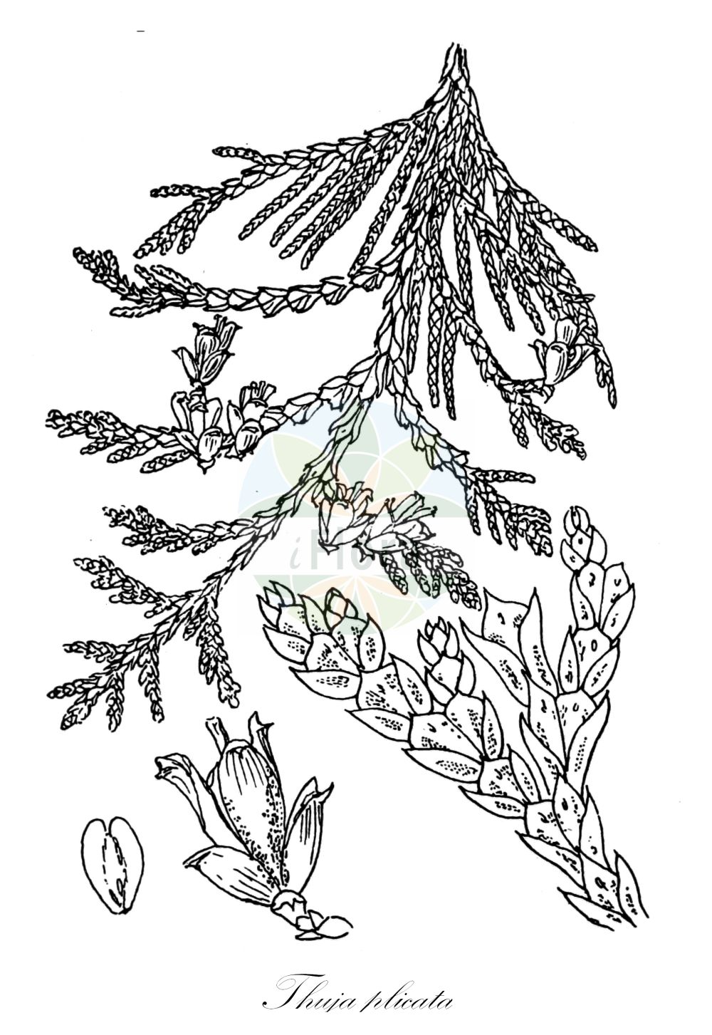 Historische Abbildung von Thuja plicata (Riesen-Lebensbaum - Western Red-cedar). Das Bild zeigt Blatt, Bluete, Frucht und Same. ---- Historical Drawing of Thuja plicata (Riesen-Lebensbaum - Western Red-cedar).The image is showing leaf, flower, fruit and seed.(Thuja plicata,Riesen-Lebensbaum,Western Red-cedar,British Columbian Red Cedar,Canoe Cedar,Giant Arbor Vitae,Shinglewood,Thuja,Lebensbaum,Cedar,Cupressaceae,Zypressengewaechse,Cypress family,Blatt,Bluete,Frucht,Same,leaf,flower,fruit,seed,Dallimore & Bruce (1923))