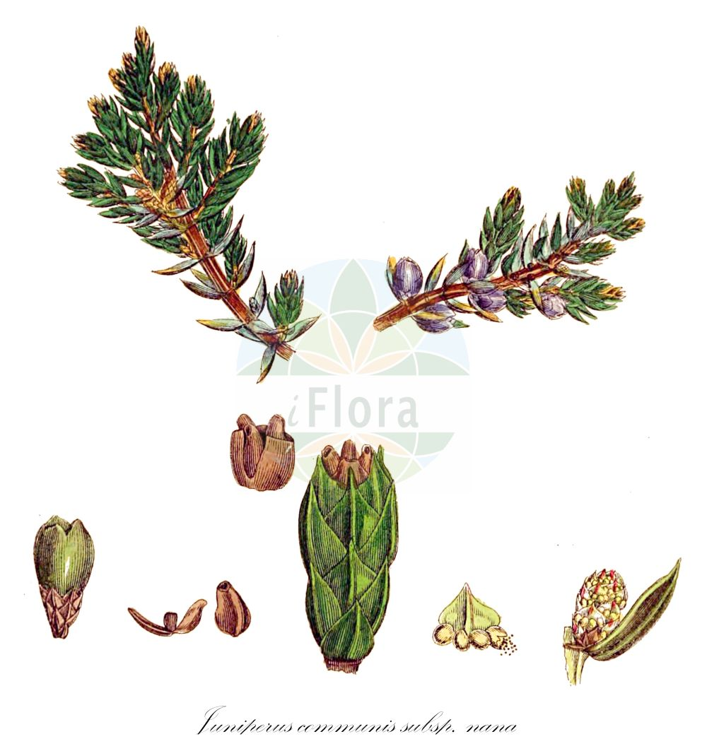 Historische Abbildung von Juniperus communis subsp. nana (Zwerg-Wacholder - Dwarf Juniper). Das Bild zeigt Blatt, Bluete, Frucht und Same. ---- Historical Drawing of Juniperus communis subsp. nana (Zwerg-Wacholder - Dwarf Juniper).The image is showing leaf, flower, fruit and seed.(Juniperus communis subsp. nana,Zwerg-Wacholder,Dwarf Juniper,Juniperus sibirica,Juniperus,Wacholder,Juniper,Cupressaceae,Zypressengewaechse,Cypress family,Blatt,Bluete,Frucht,Same,leaf,flower,fruit,seed,Sowerby (1790-1813))